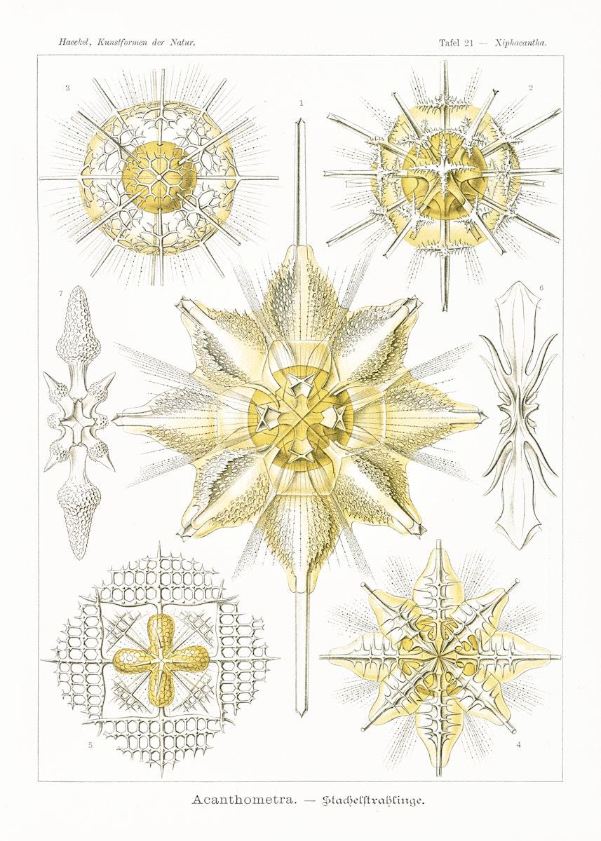 Acanthometra–Stachelstrahlinge from Kunstformen der Natur (1904) by Ernst Haeckel. Original from Library of Congress.…