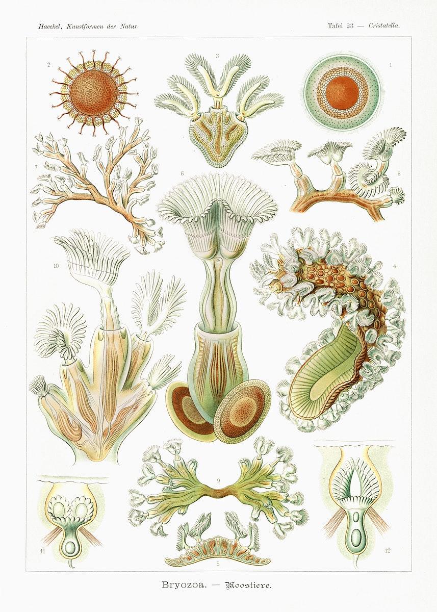 Bryozoa–Moostiere from Kunstformen der Natur (1904) by Ernst Haeckel. Original from Library of Congress. Digitally…