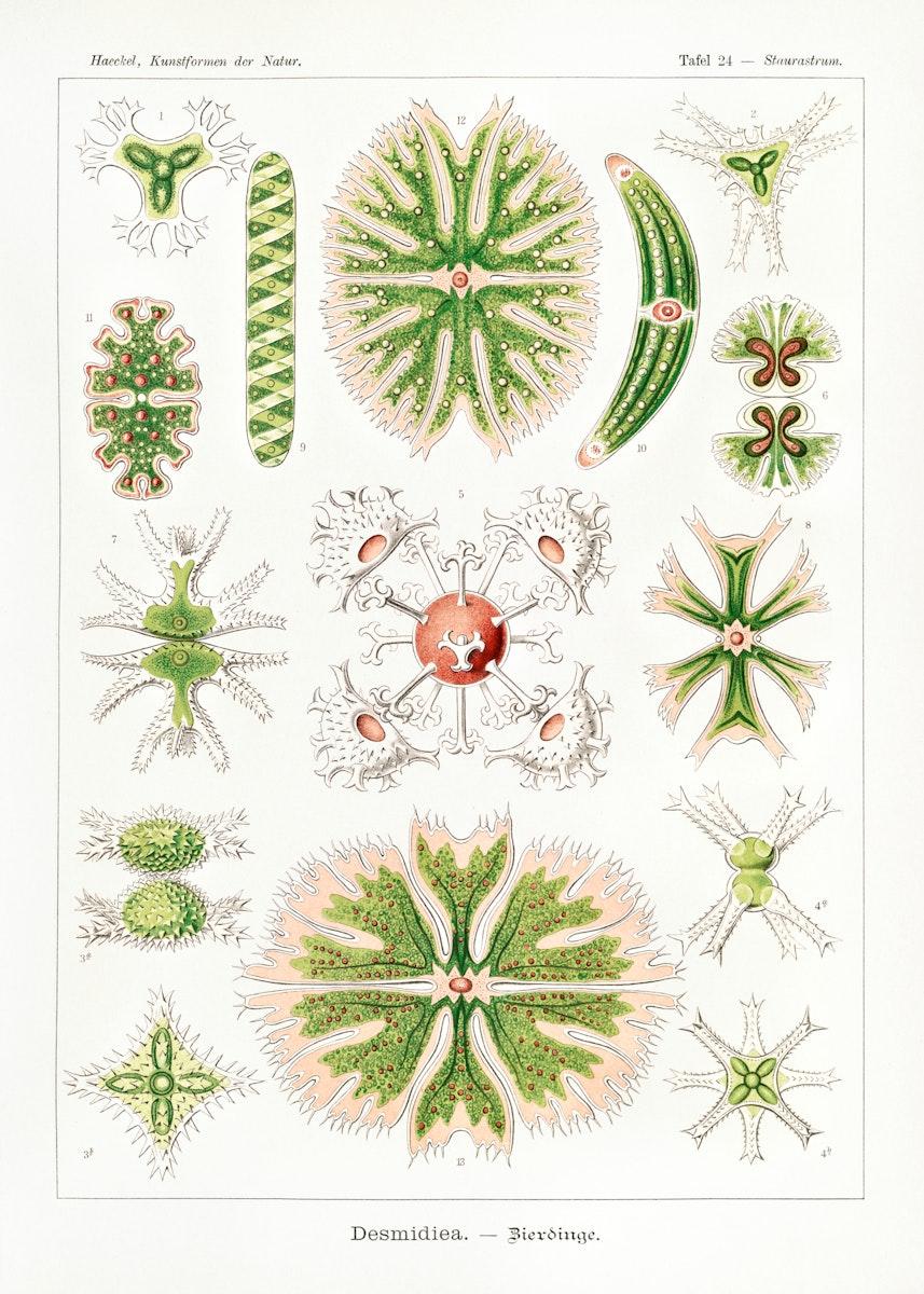 Desmidiea–Bierdinge from Kunstformen der Natur (1904) by Ernst Haeckel. Original from Library of Congress. Digitally…
