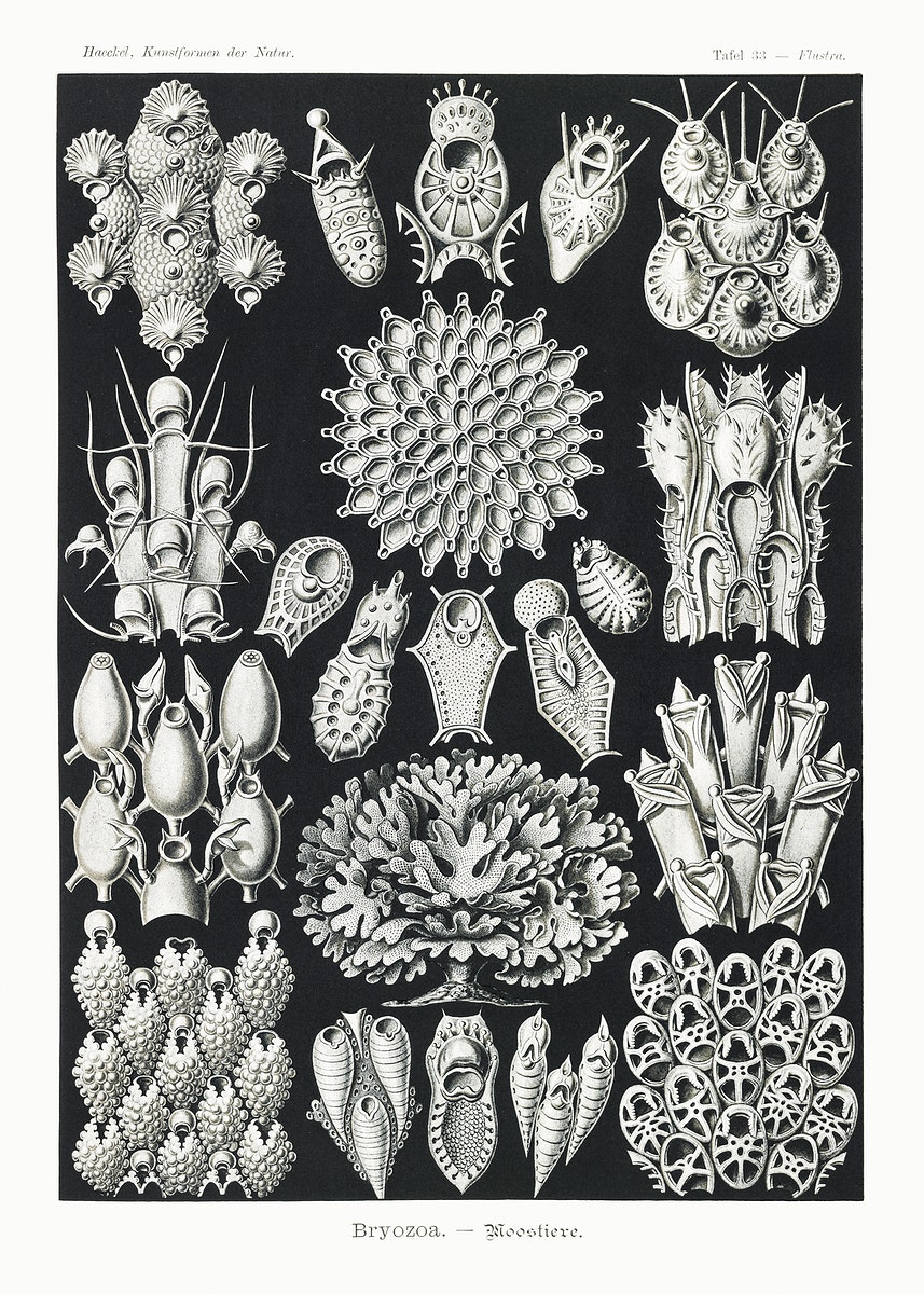 Bryozoa–Woostiere from Kunstformen der Natur (1904) by Ernst Haeckel. Original from Library of Congress. Digitally…