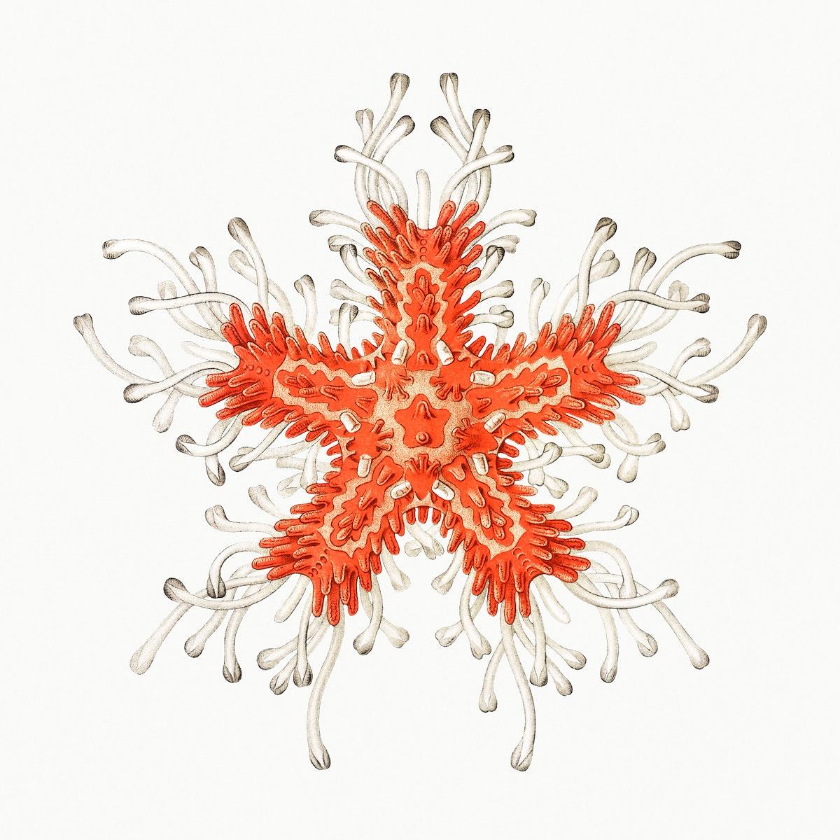 Vintage starfish marine life illustration