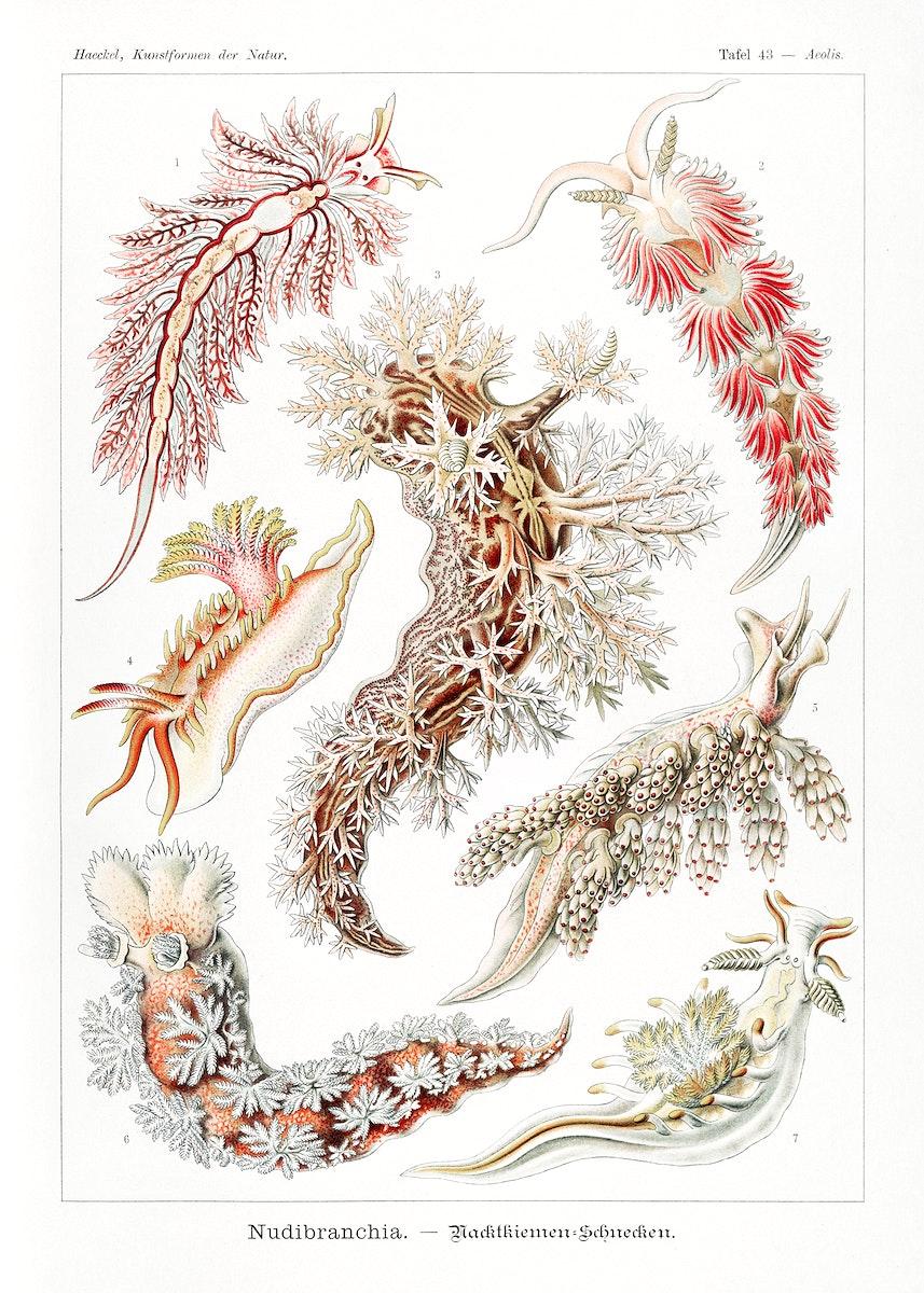 Nudibranchia–Nacktkiemen Schnecken from Kunstformen der Natur (1904) by Ernst Haeckel. Original from Library of…
