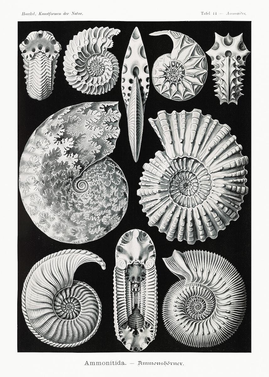 Ammonitida–Ammonshörner from Kunstformen der Natur (1904) by Ernst Haeckel. Original from Library of Congress.…