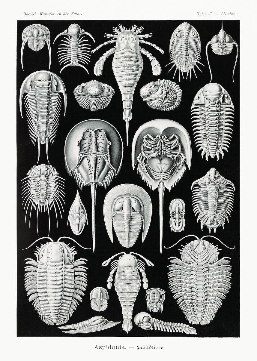 Aspidonia–Schildtiere from Kunstformen der Natur (1904) by Ernst Haeckel. Original from Library of Congress. Digitally…