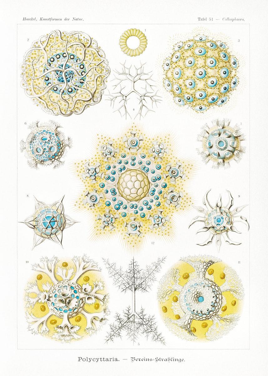 Polycyttaria–Vereins-Strahlinge from Kunstformen der Natur (1904) by Ernst Haeckel. Original from Library of Congress.…