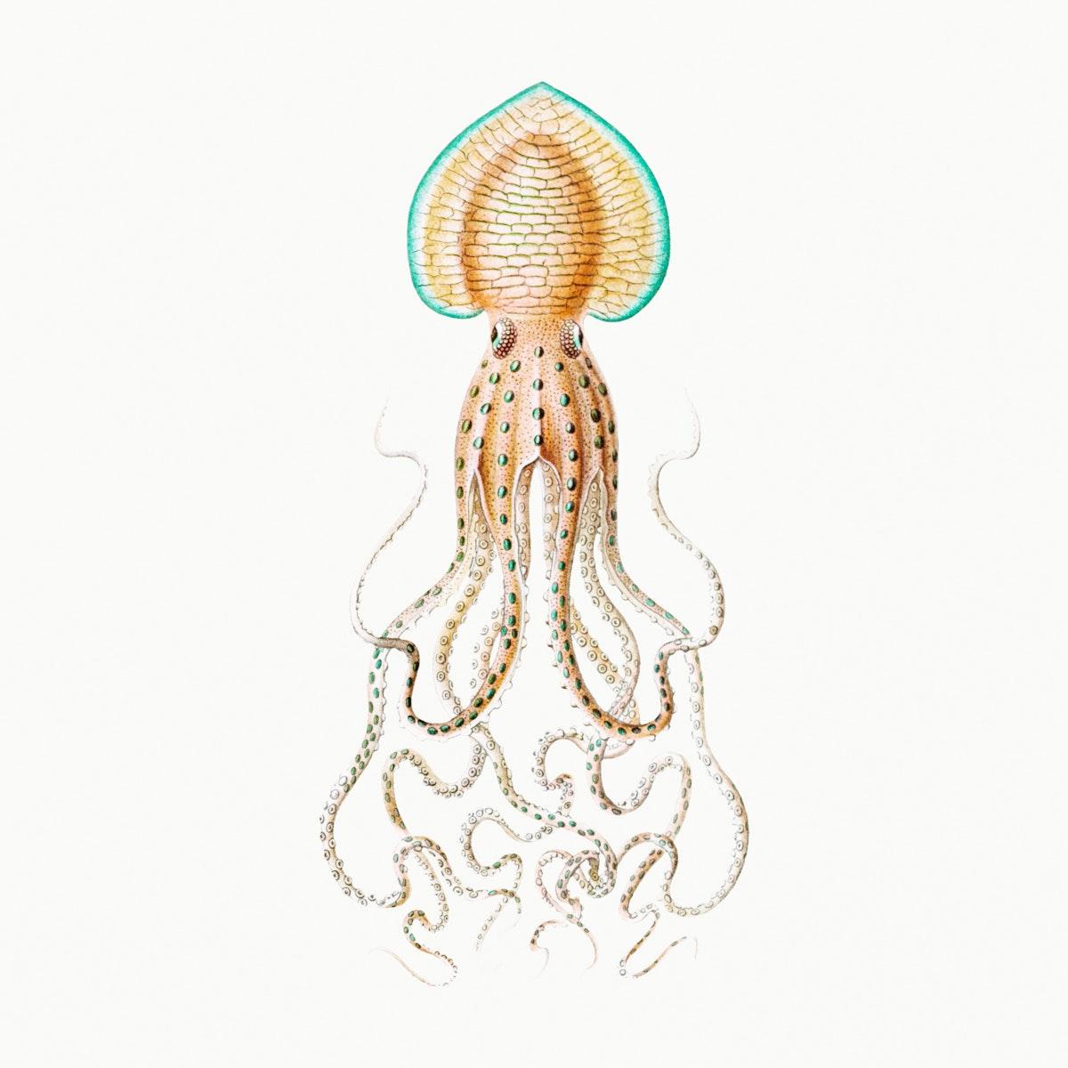 Vintage squid marine life illustration