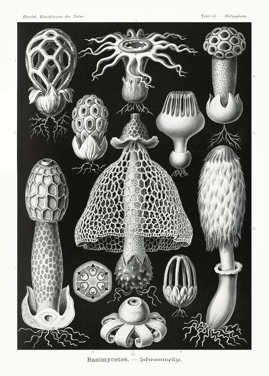 Basimycetes–Schwammpilze from Kunstformen der Natur (1904) by Ernst Haeckel. Original from Library of Congress.…