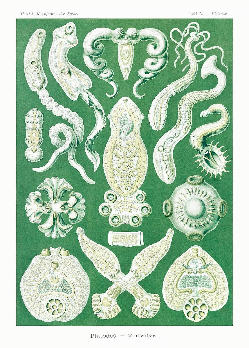 Platodes–Plattentiere from Kunstformen der Natur (1904) by by Ernst Haeckel. Original from Library of Congress.…