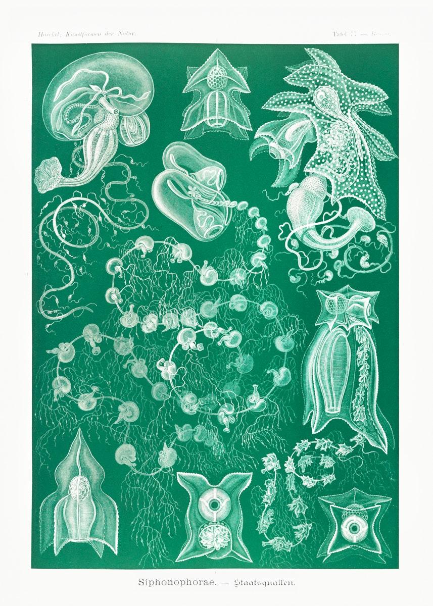 Siphonophorae–Staatsquallen from Kunstformen der Natur (1904) by Ernst Haeckel. Original from Library of Congress.…