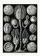"""Cystoidea&ndash;Beutelsterne from Kunstformen der Natur (1904) by <a href=""""https://www.rawpixel.com/search/Ernst%20Haeckel?sort=curated&amp;mode=shop&amp;page=1"""">Ernst Haeckel</a>. Original from Library of Congress. Digitally enhanced by rawpixel."""