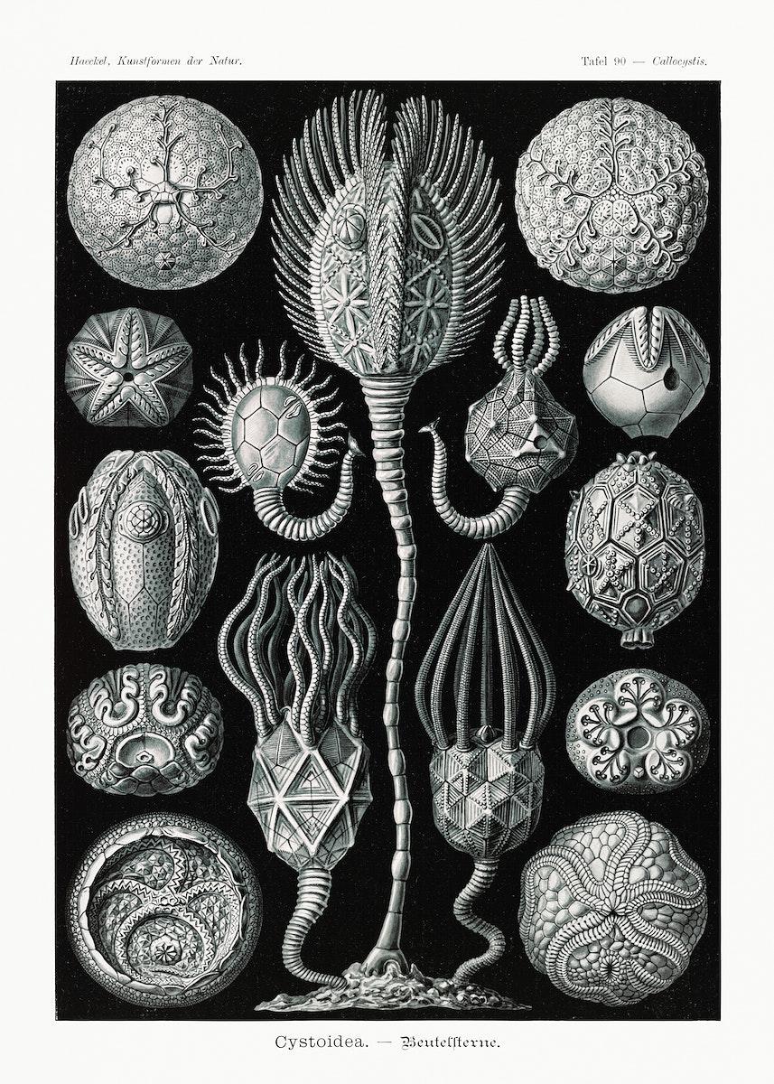 Cystoidea–Beutelsterne from Kunstformen der Natur (1904) by Ernst Haeckel. Original from Library of Congress. Digitally…