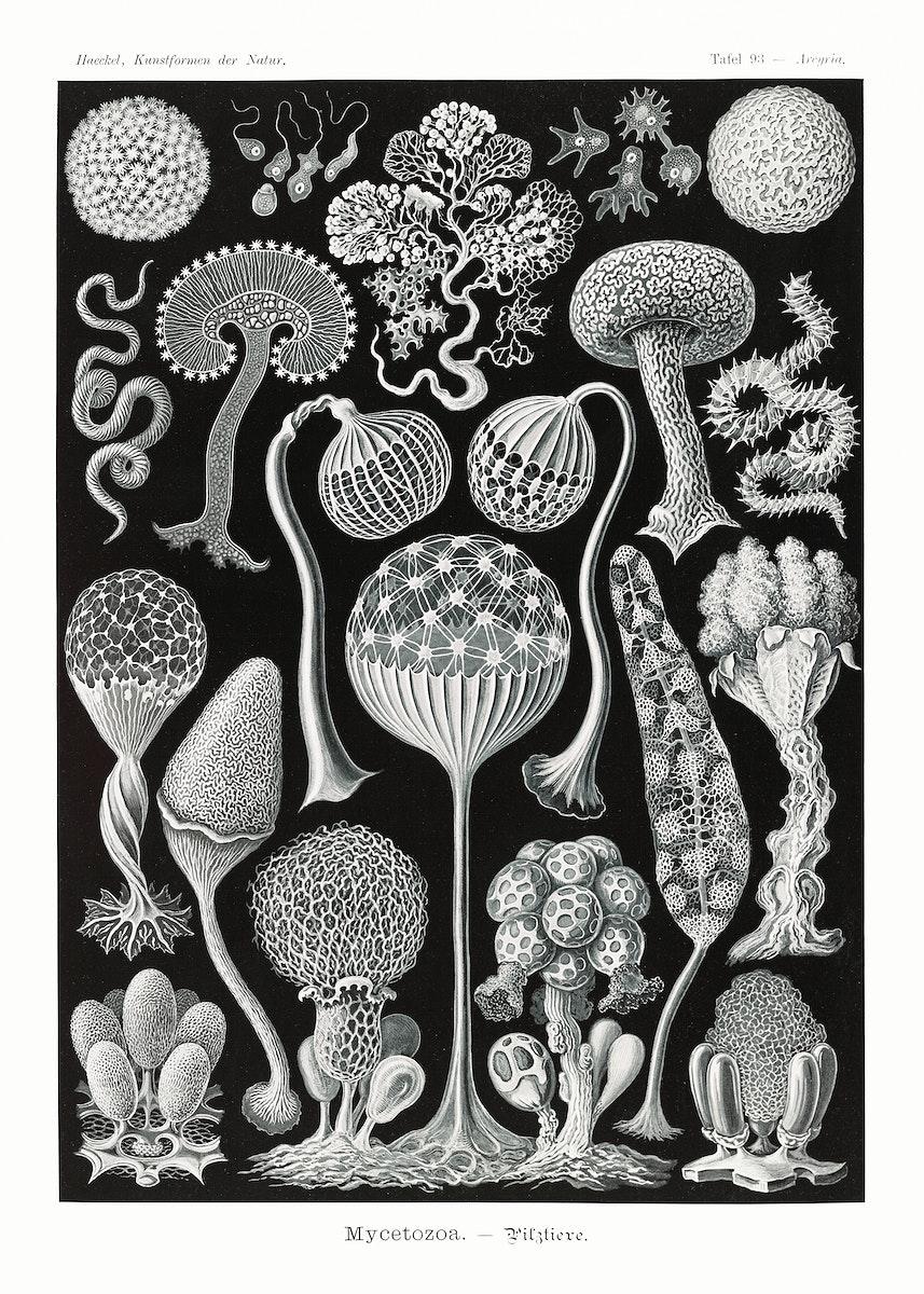 Mycetozoa–Pilztiere from Kunstformen der Natur (1904) by Ernst Haeckel. Original from Library of Congress. Digitally…