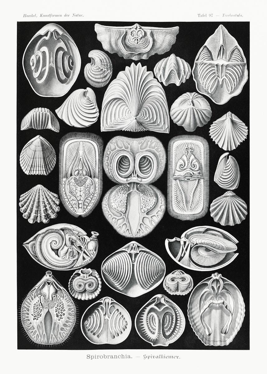 Spirobranchia–Spiralkiemer from Kunstformen der Natur (1904) by Ernst Haeckel. Original from Library of Congress.…