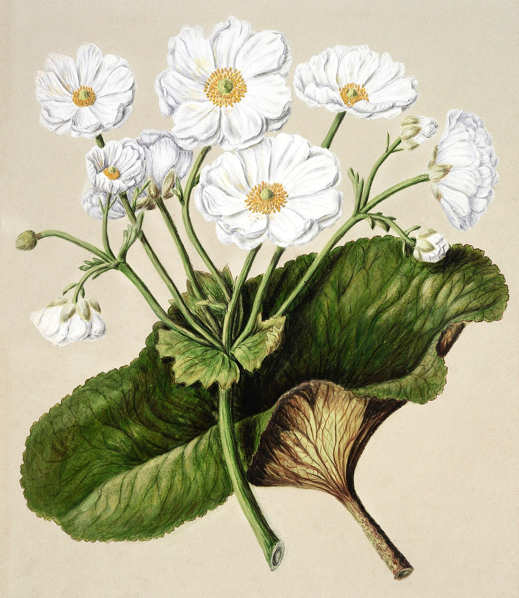Antique plant The mountain lily drawn by Sarah Featon (1848–1927). Original from Museum of New Zealand. Digitally…