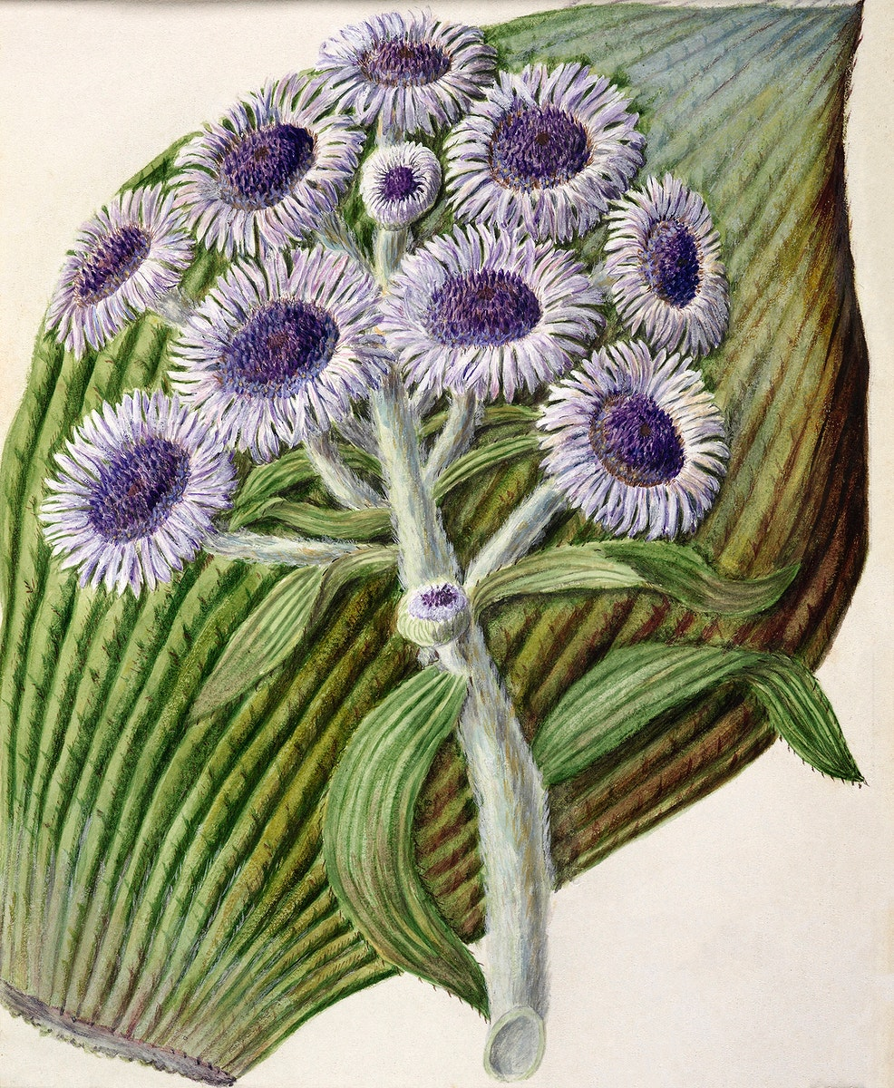 Antique plant Antarctic daisy drawn by Sarah Featon (1848–1927). Original from Museum of New Zealand. Digitally…