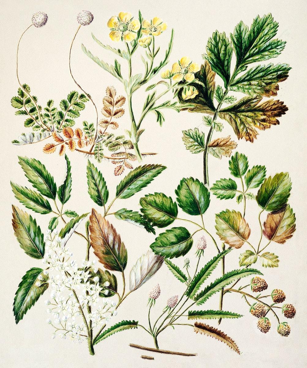 Antique plant Acaena sanguisorboe - Genn urbanum - R.australis - globra - R.parva - Rubens australis drawn by Sarah Featon…