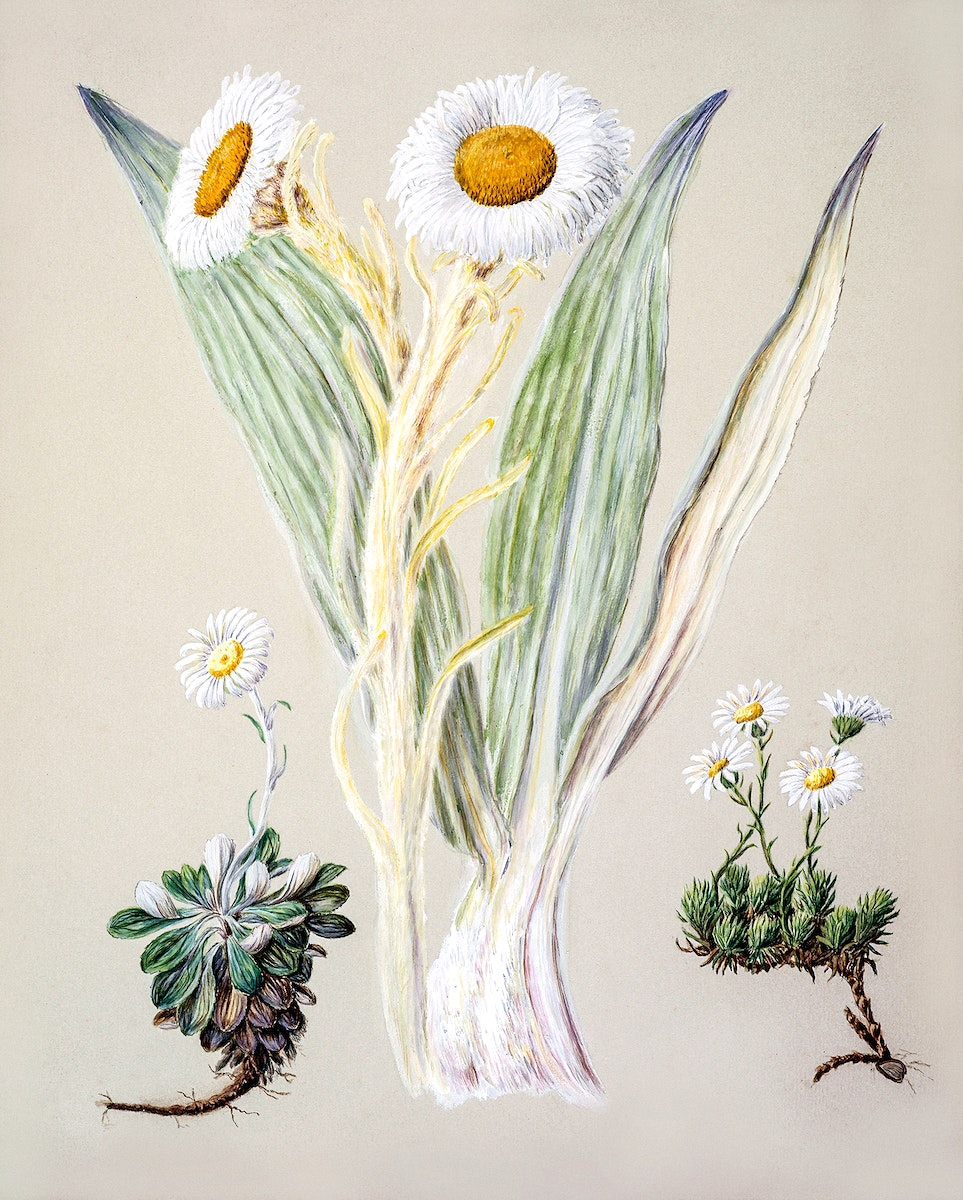 Antique plant White mountain musk drawn by Sarah Featon (1848–1927). Original from Museum of New Zealand. Digitally…