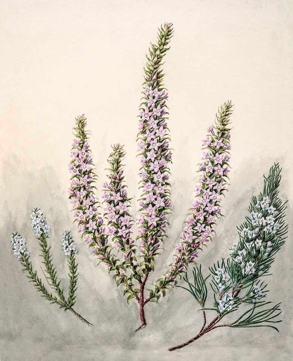 Antique plant Epacris(2species) drawn by Sarah Featon (1848–1927). Original from Museum of New Zealand. Digitally…
