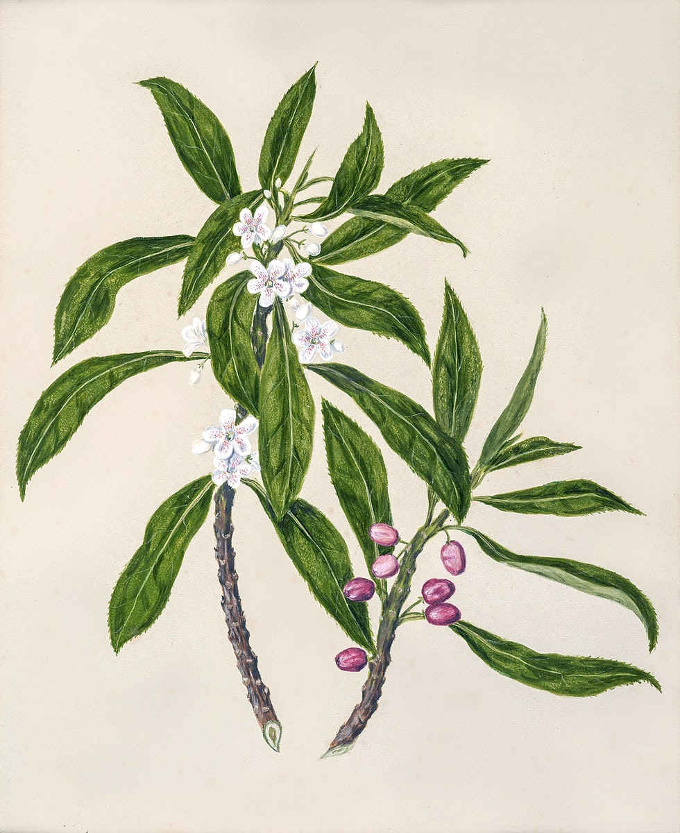 Antique plant Ngaio drawn by Sarah Featon (1848–1927). Original from Museum of New Zealand. Digitally enhanced by…