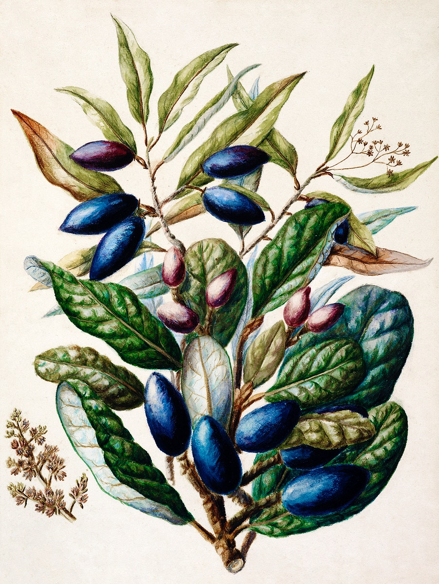 Antique plant Beilschmiedia Taiaire Tawa drawn by Sarah Featon (1848–1927). Original from Museum of New Zealand.…