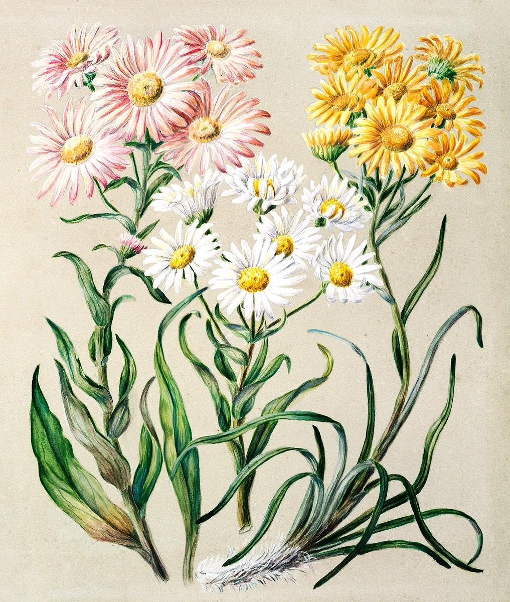 Antique plant New Zealand snow groundsels drawn by Featon (1848–1927). Original from Museum of New Zealand. Digitally…