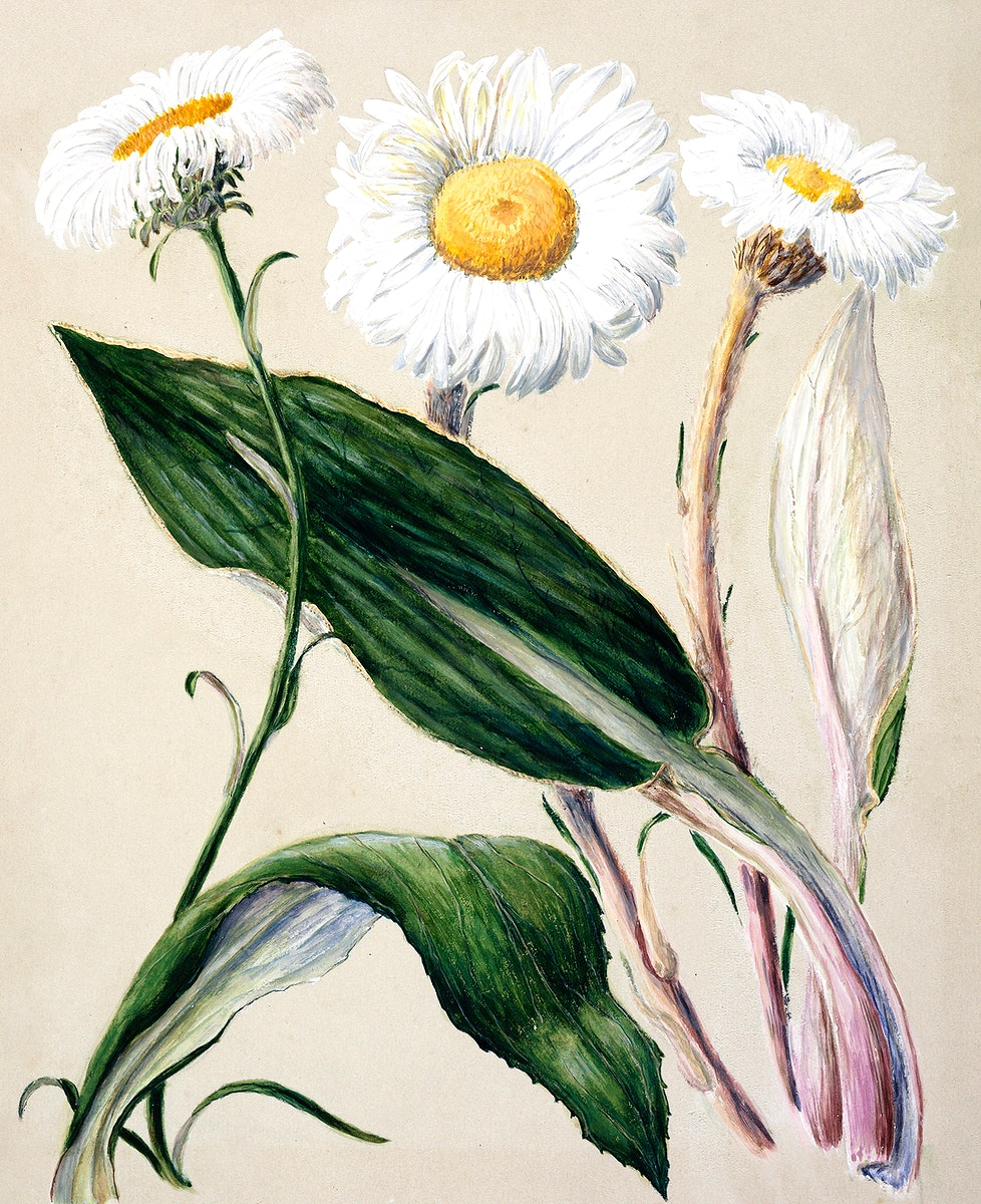 Antique plant New Zealand mountain daisies drawn by Sarah Featon (1848–1927). Original from Museum of New Zealand.…