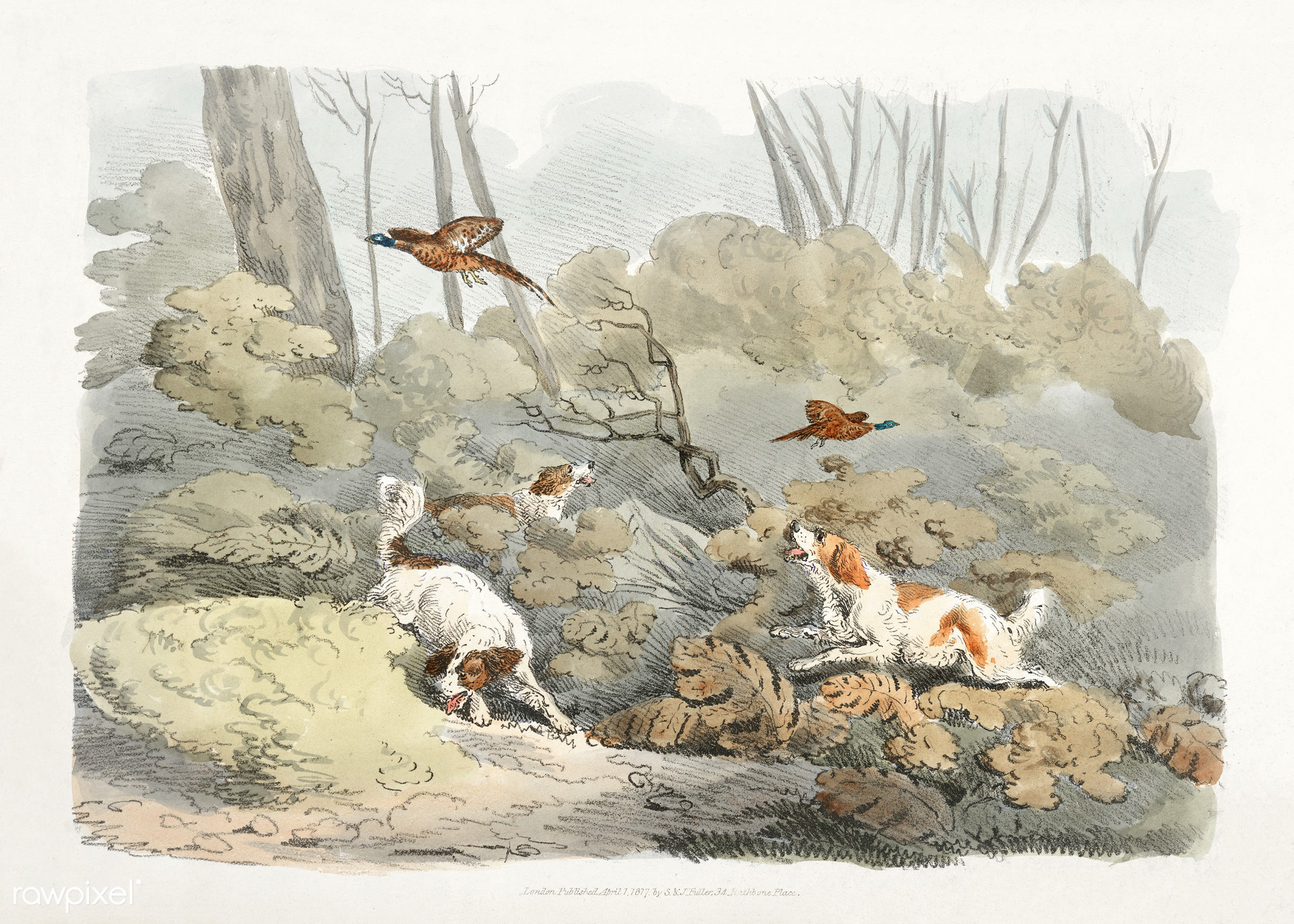 Illustration of dogs chasing pheasants from Sporting Sketches (1817-1818) by Henry Alken (1784-1851). - animal, antique,...