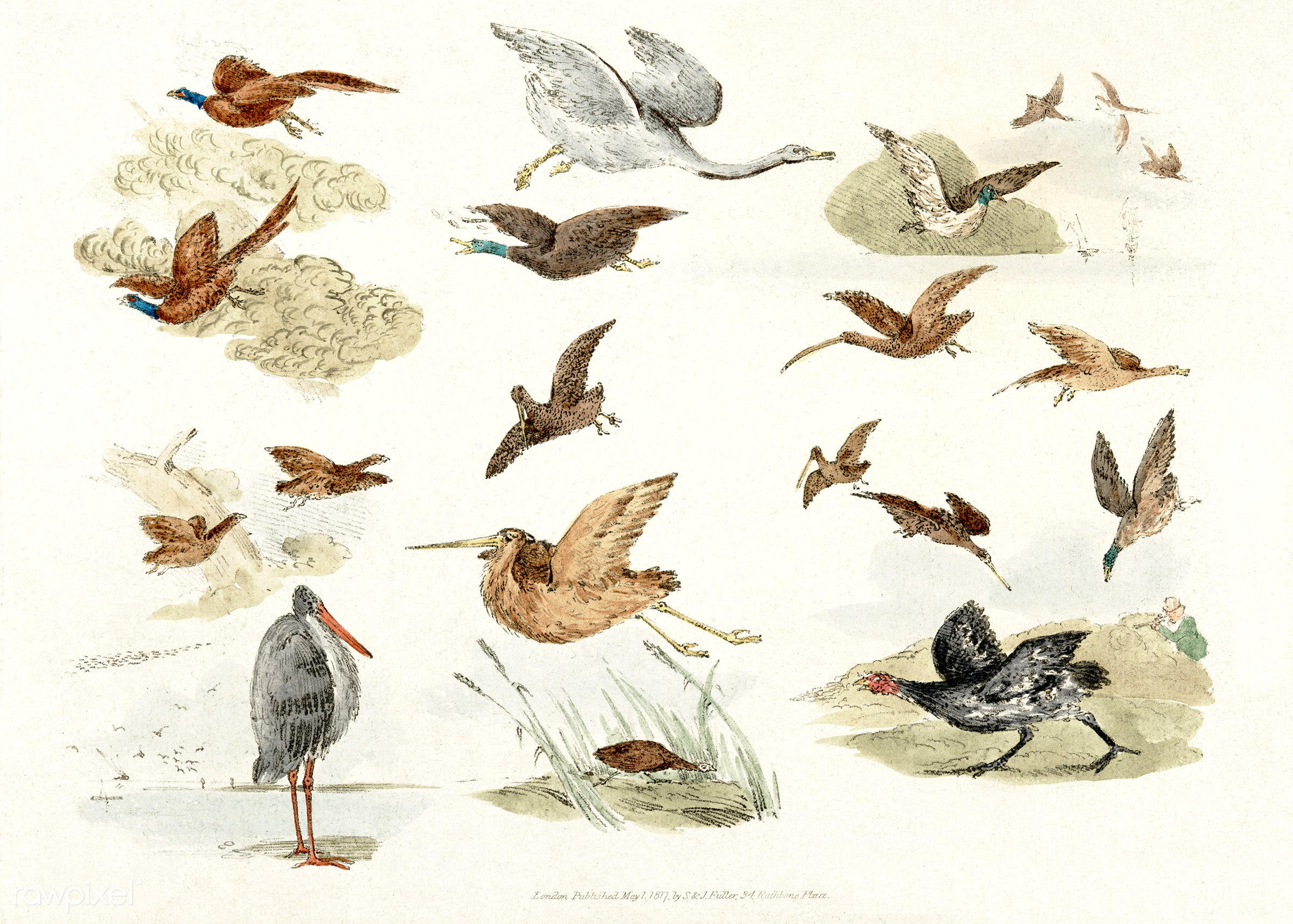 Illustration of game birds from Sporting Sketches (1817-1818) by Henry Alken (1784-1851). - animal, antique, bird, birds,...
