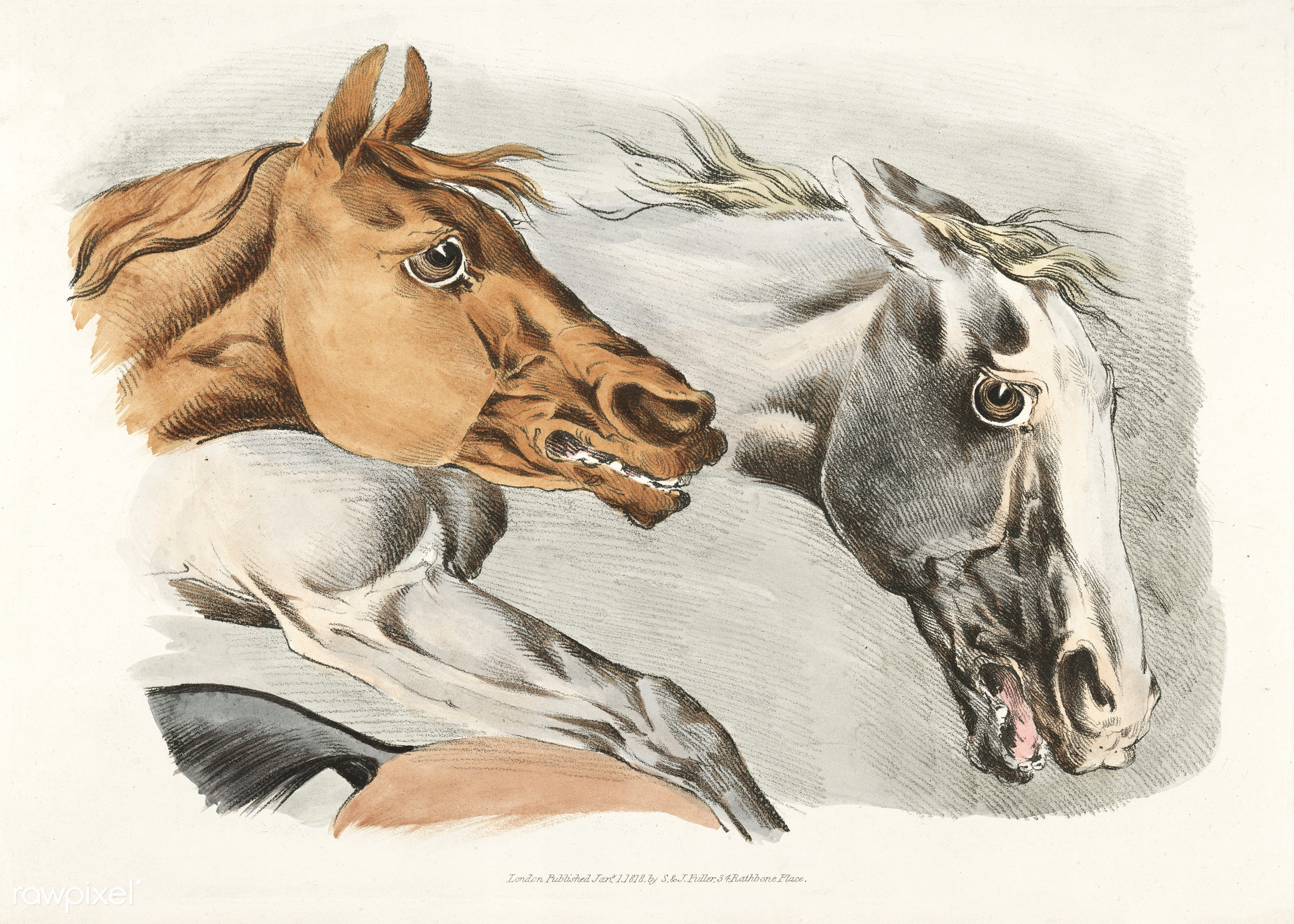 Illustration of parts of white and brown horses from Sporting Sketches (1817-1818) by Henry Alken (1784-1851). - animal,...