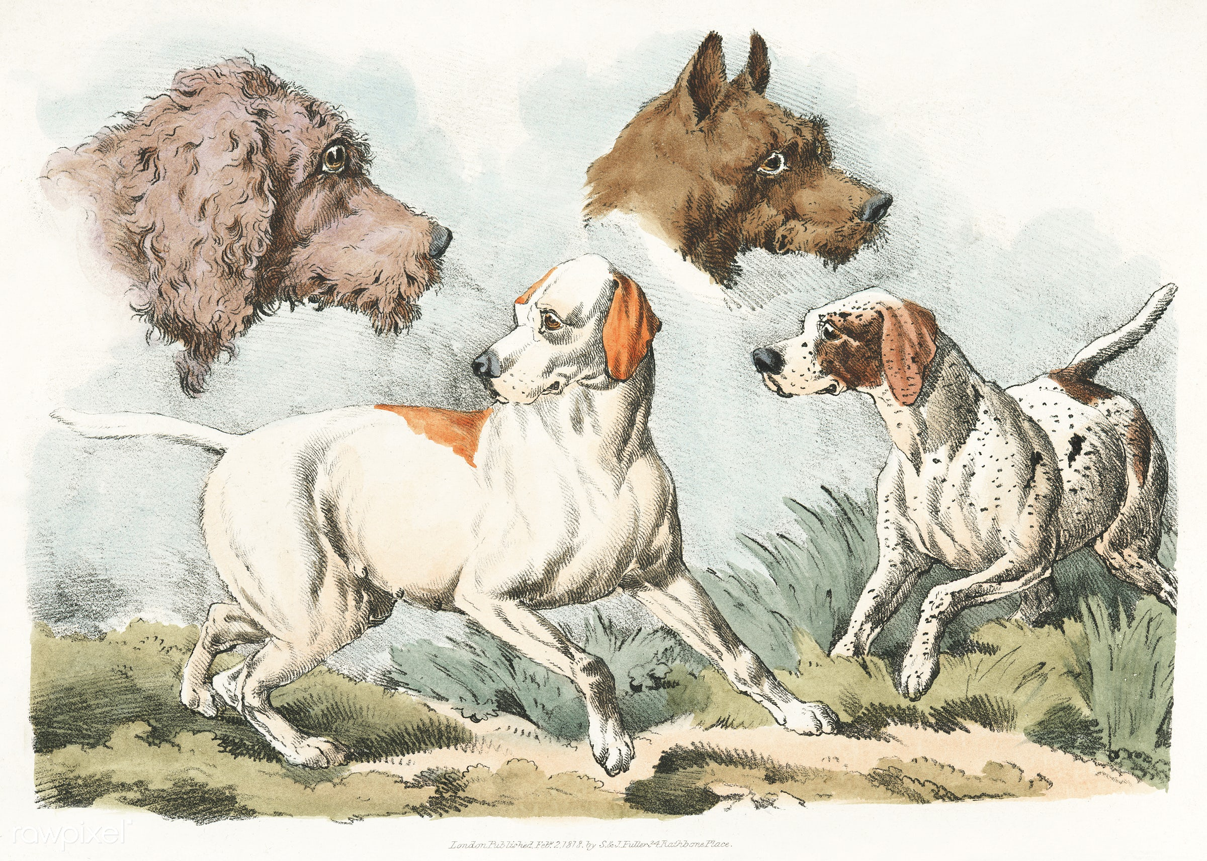 Illustration of two dogs and two dog heads from Sporting Sketches (1817-1818) by Henry Alken (1784-1851). - animal, antique...