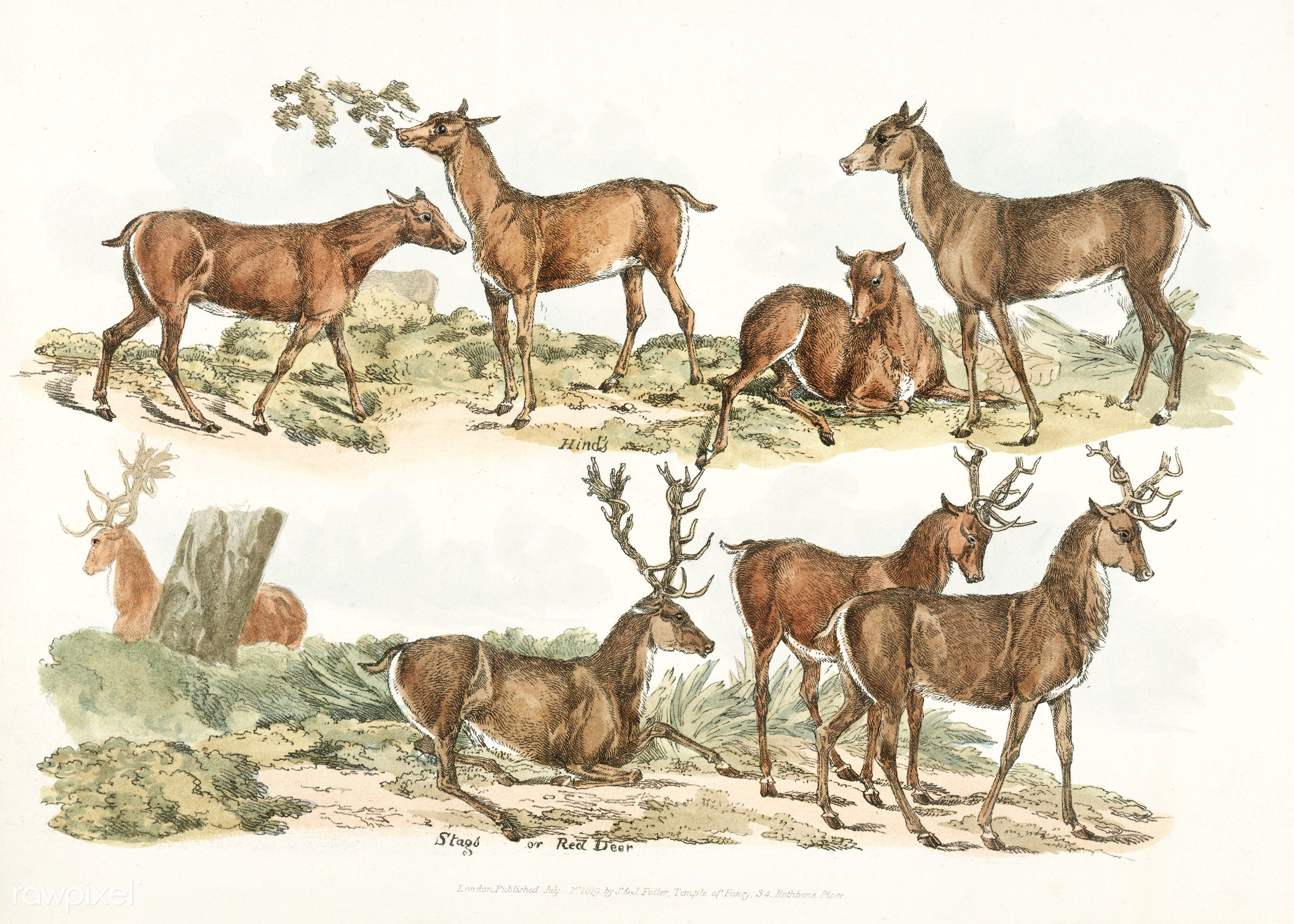 Illustration of hinds; stags or red deer from Sporting Sketches (1817-1818) by Henry Alken (1784-1851). - animal, antique,...