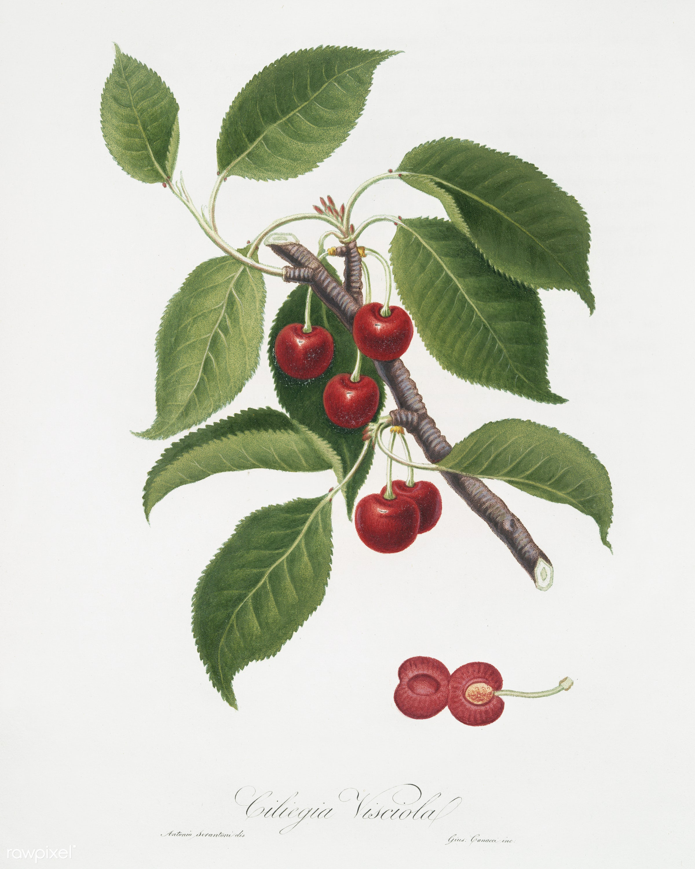 Sour Cherry (Cerasus cordiformis duracina) from Pomona Italiana (1817 - 1839) by Giorgio Gallesio (1772-1839). - antique,...