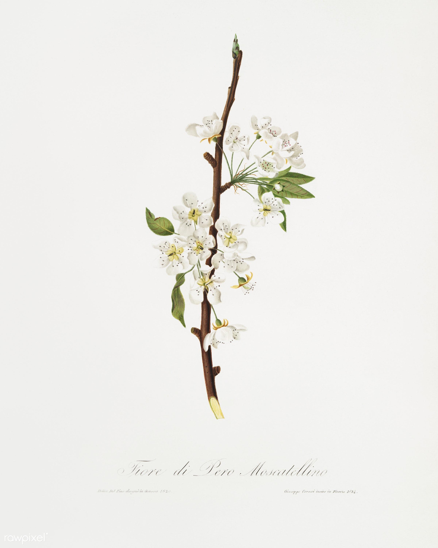 Musky pear flower (Pyrus × bretschneideri) from Pomona Italiana (1817 - 1839) by Giorgio Gallesio (1772-1839). -...