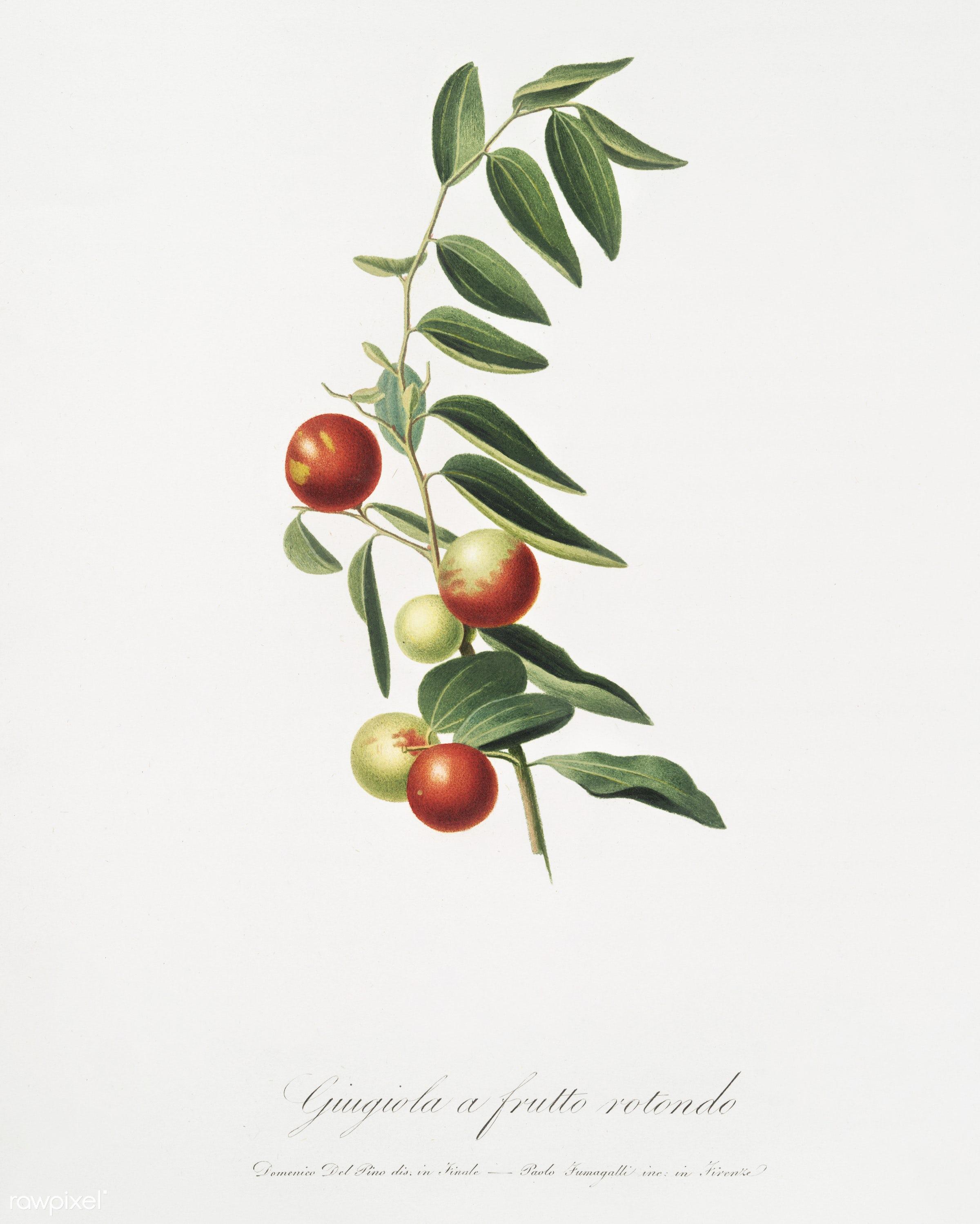 Chinese jujube (Zizphus vulgaris) from Pomona Italiana (1817 - 1839) by Giorgio Gallesio (1772-1839). - antique, antique...