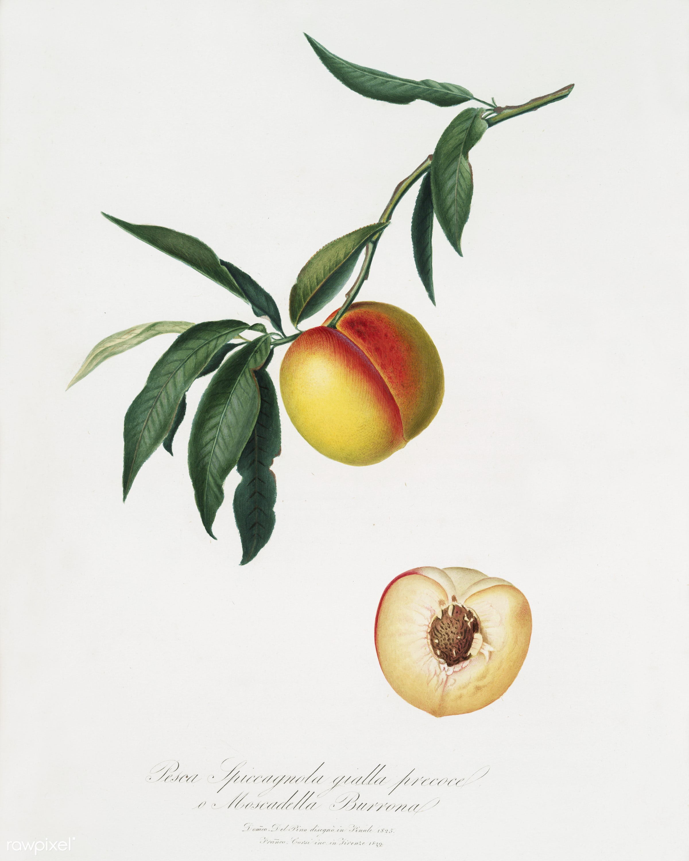 Peach (Persica julodermis) from Pomona Italiana (1817 - 1839) by Giorgio Gallesio (1772-1839). - antique, antique book, book...