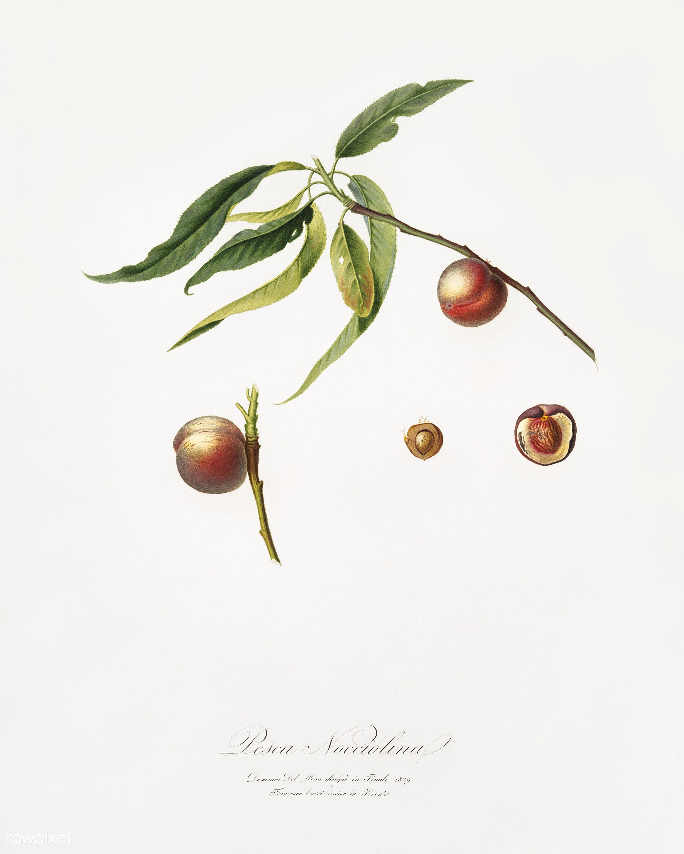 Peach (Prunus persica) from Pomona Italiana (1817 - 1839) by Giorgio Gallesio (1772-1839). - antique, antique book, book,...