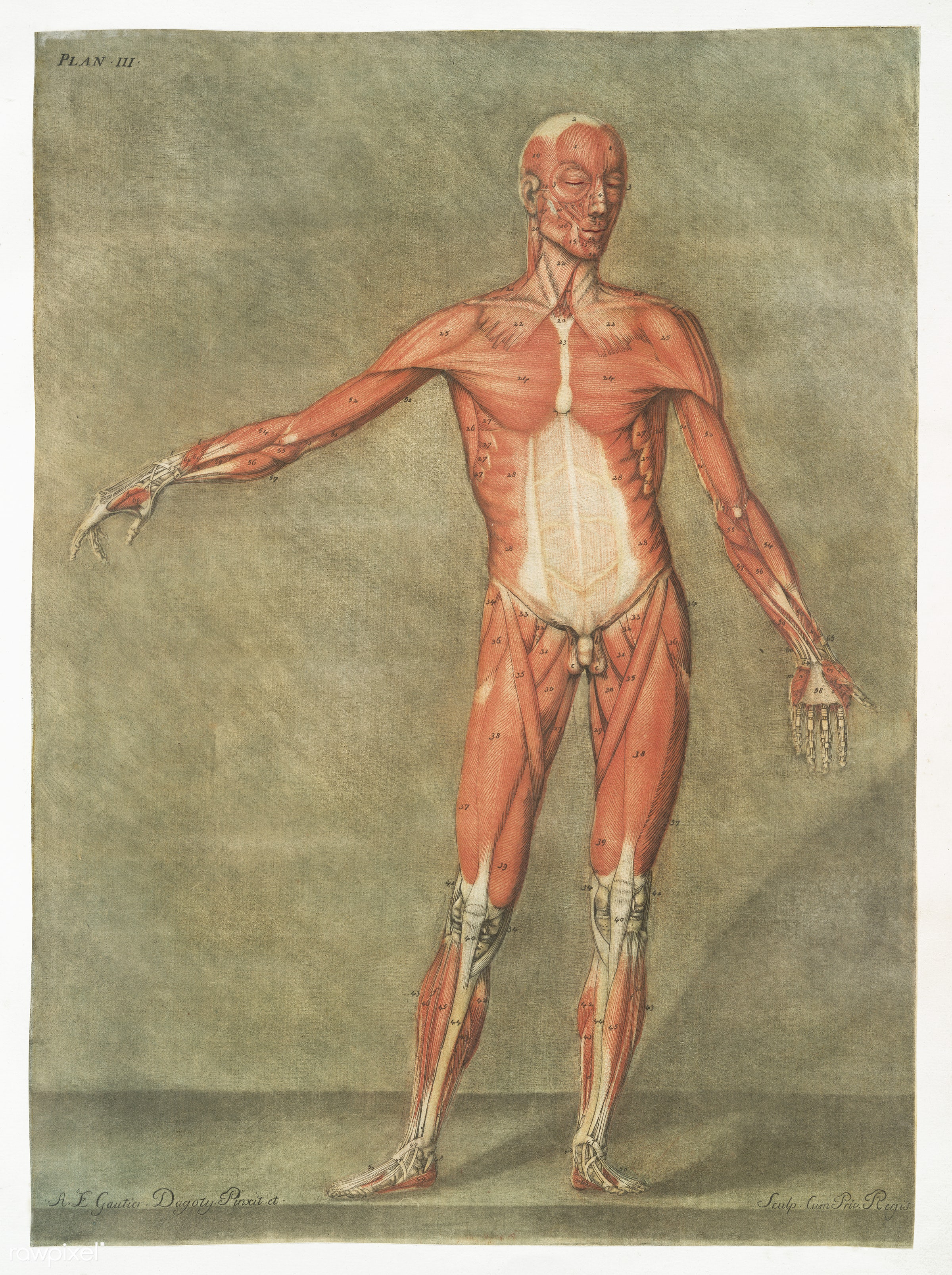 This fascinating collection of anatomical illustrations is created by Arnauld-Eloi Gautier-Dagoty (1741-1771) for the Royal...