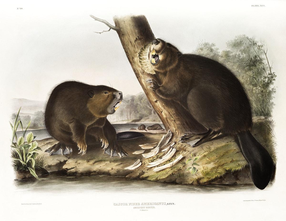 American Beaver (Castor fiber Americanus) from the viviparous quadrupeds of North America (1845) illustrated by John…