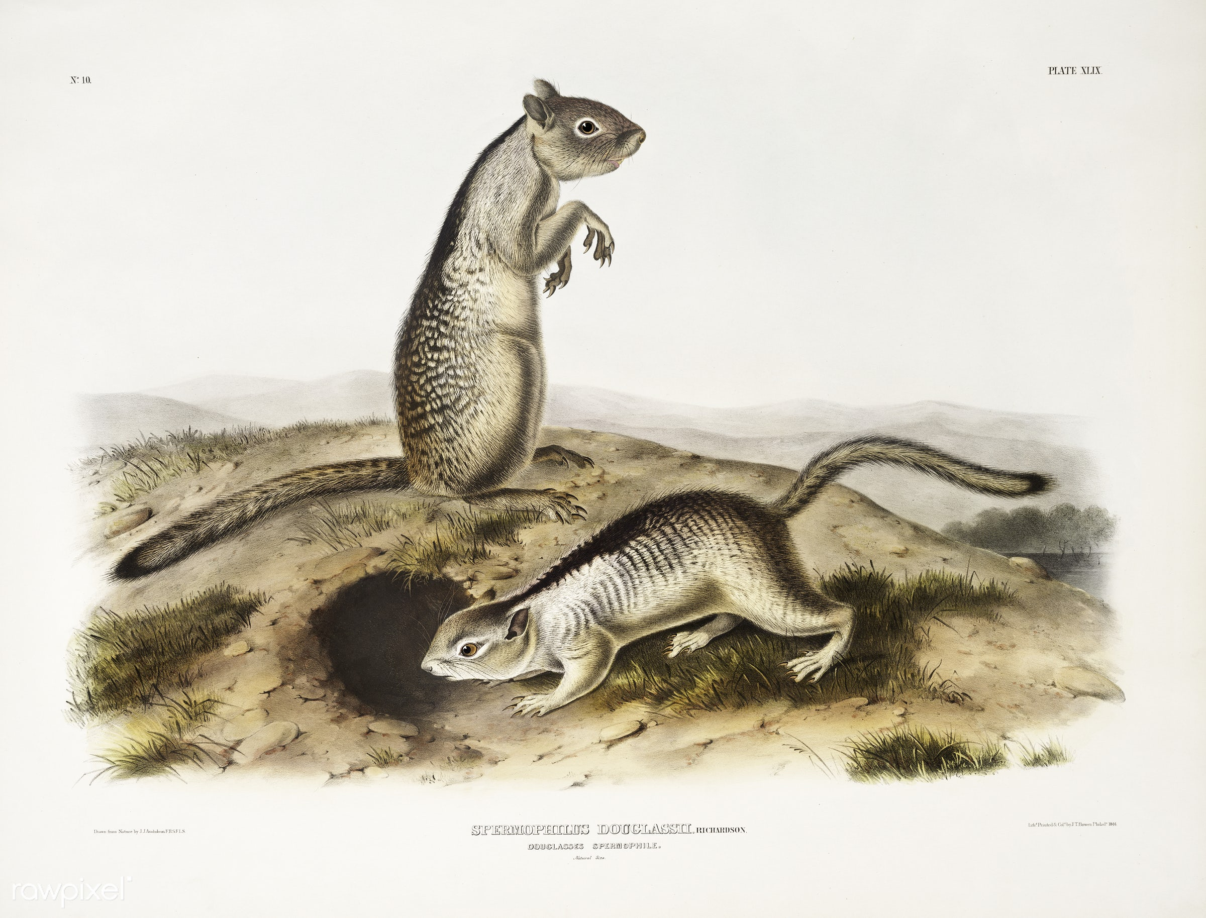 Douglasse's Spermophile (Spermophilus Douglassii) from the viviparous quadrupeds of North America (1845) illustrated by...