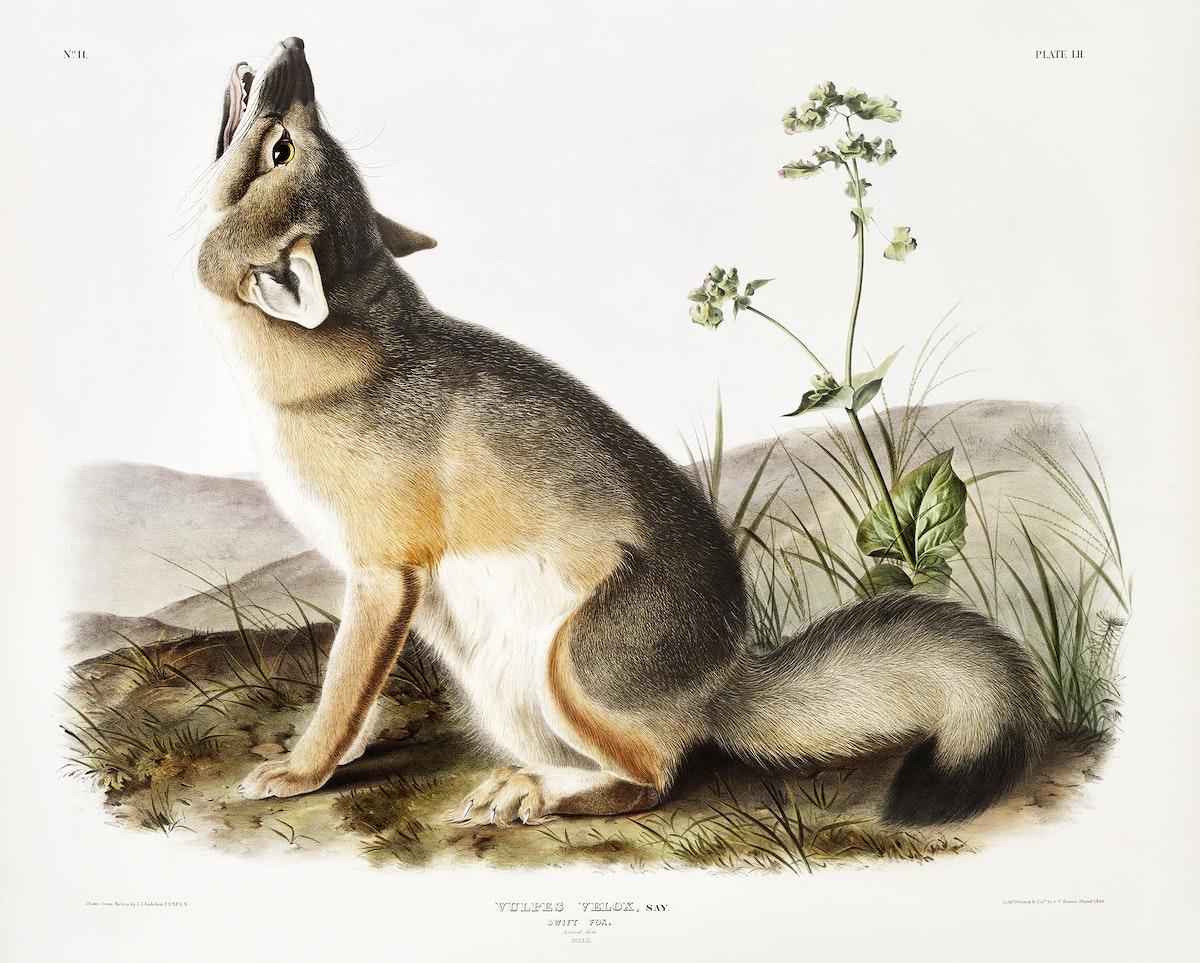 Swift Fox (Vulpes velox) from the viviparous quadrupeds of North America (1845) illustrated by John Woodhouse Audubon (1812…