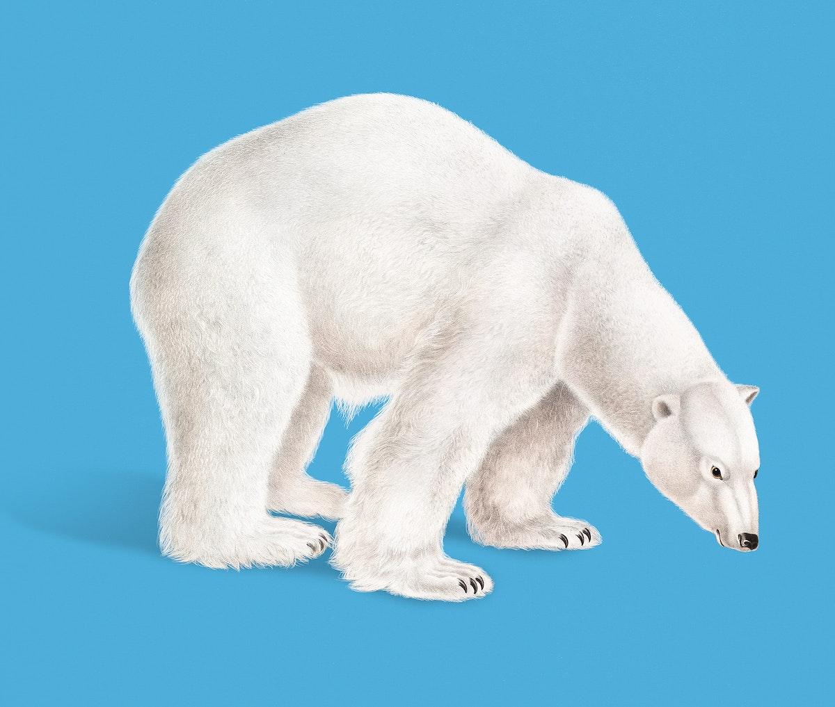 Vintage Illustration of Polar Bear.