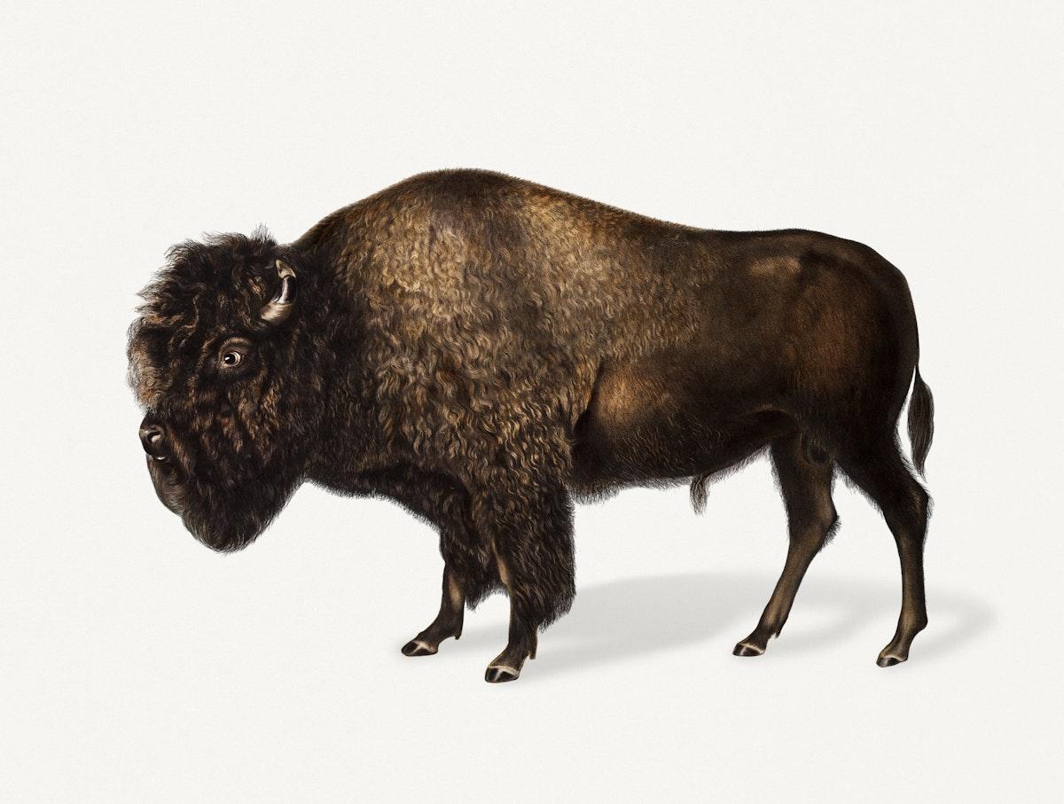 Vintage Illustration of American Bison.