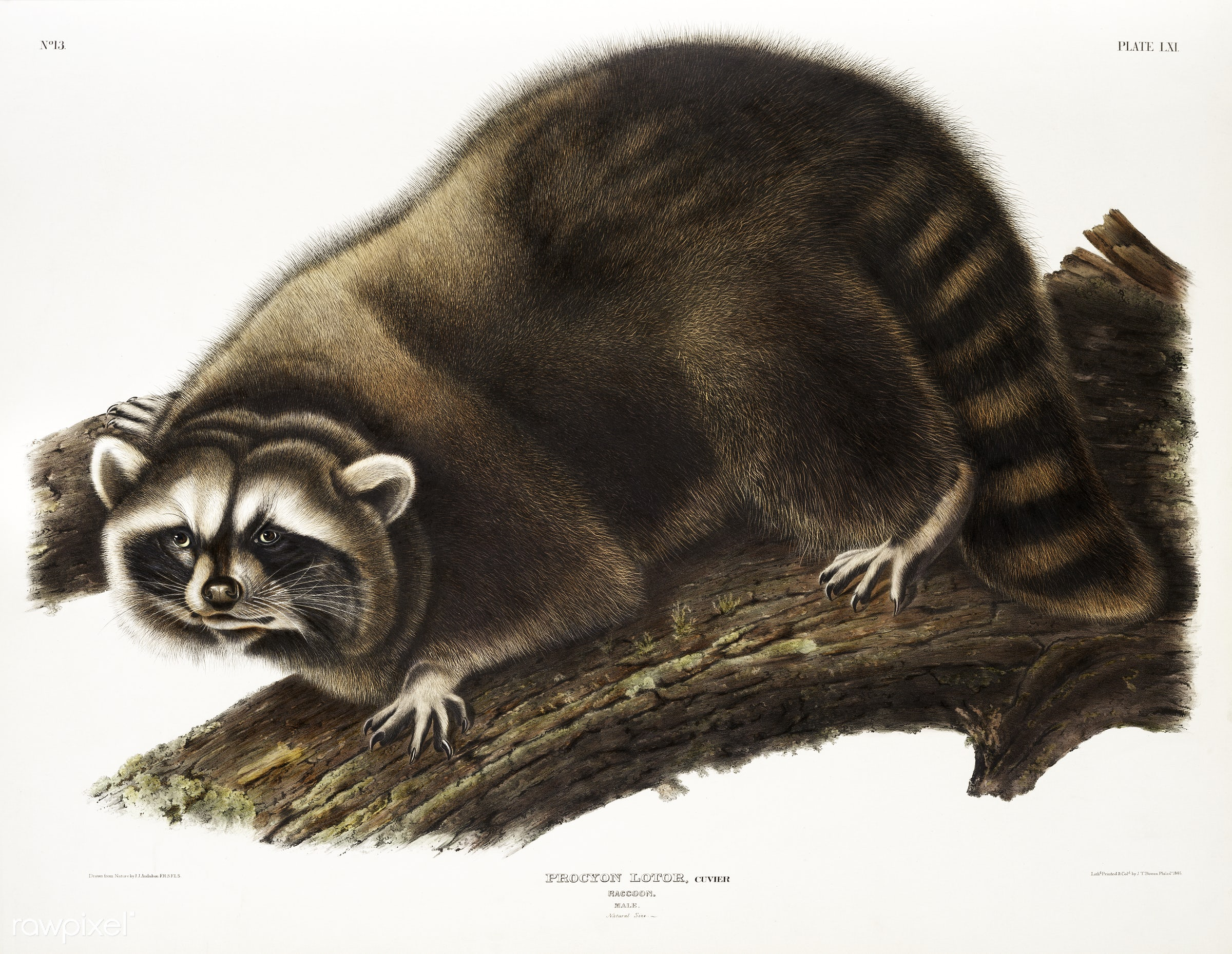 Raccoon (Procyon lotor) from the viviparous quadrupeds of North America (1845) illustrated by John Woodhouse Audubon (1812-...
