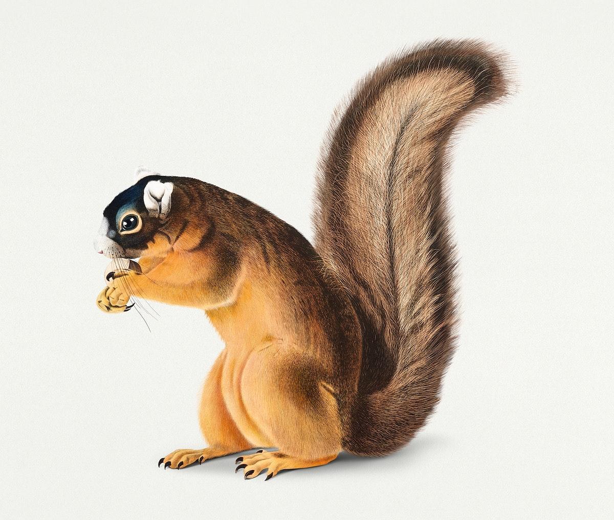 Vintage Illustration of Fox Squirrel.