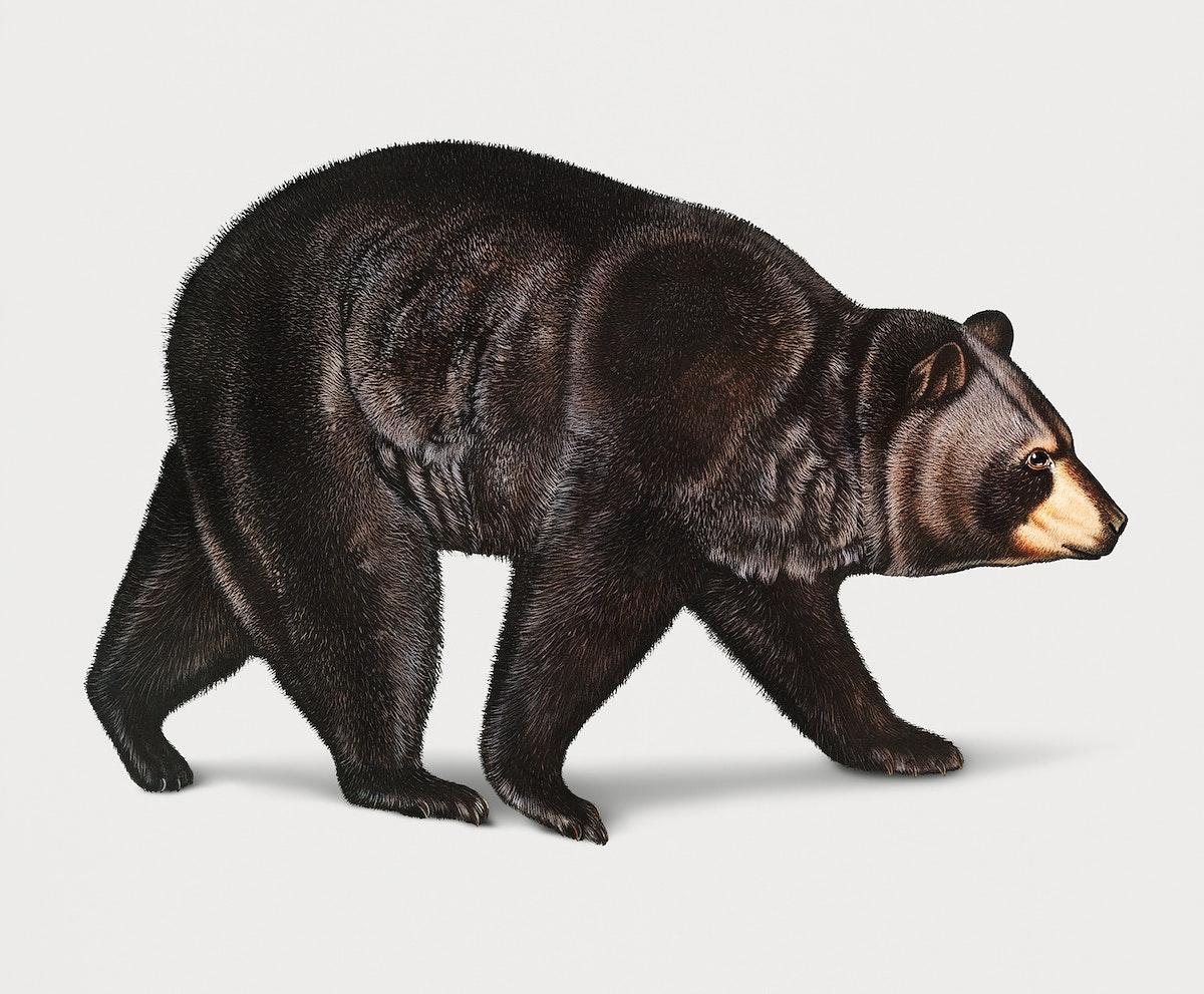 Vintage Illustration of American Black Bear.