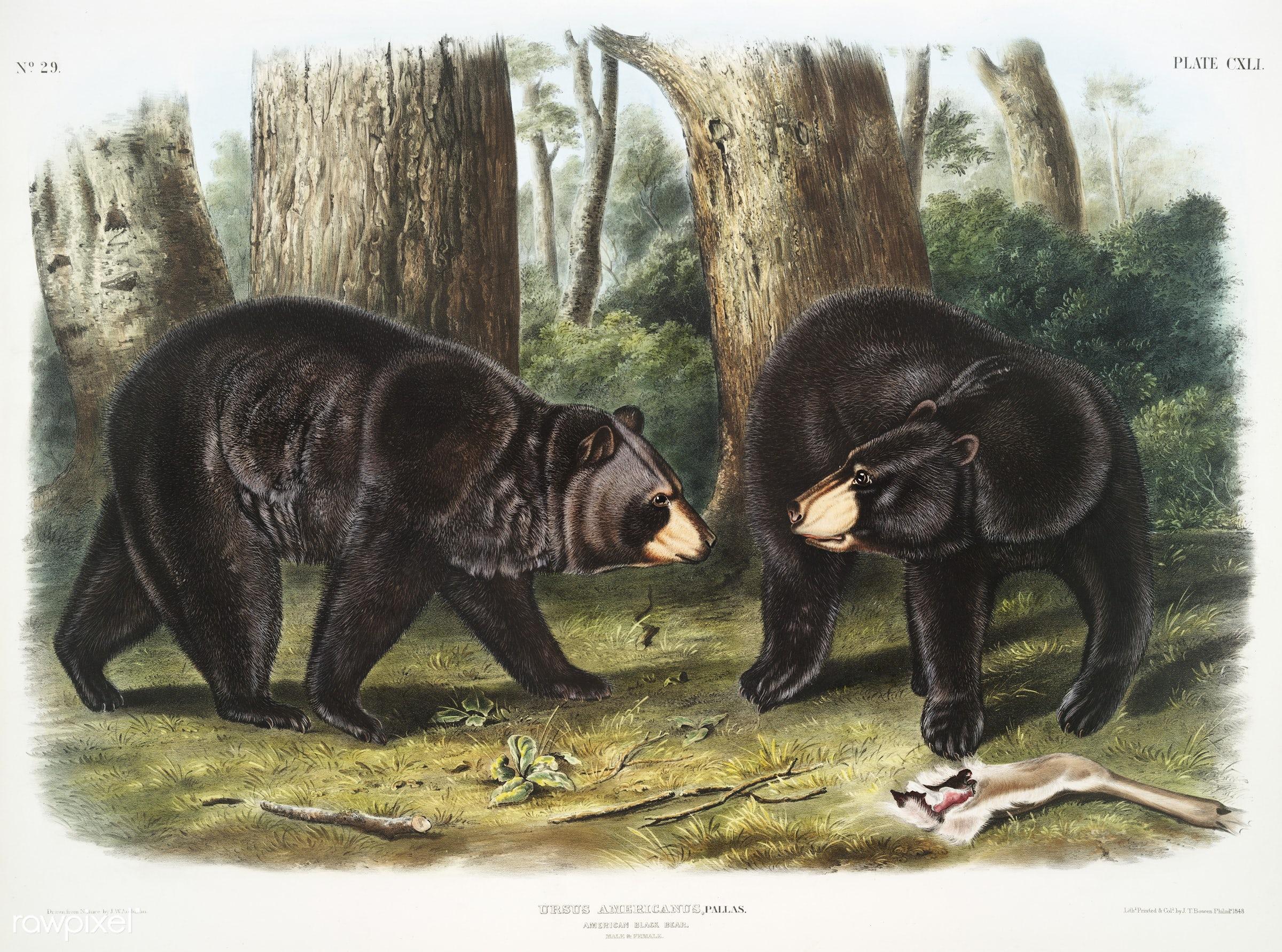 American Black Bear (Ursus Americanus) from the viviparous quadrupeds of North America (1845) illustrated by John Woodhouse...