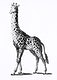 """Giraffe from Zoological lectures delivered at the Royal institution in the years 1806-7 illustrated by <a href=""""https://www.rawpixel.com/search/George%20Shaw?sort=curated&amp;rating_filter=all&amp;mode=shop&amp;page=1"""">George Shaw</a> (1751-1813). Original from The New York Public Library. Digitally enhanced by rawpixel."""