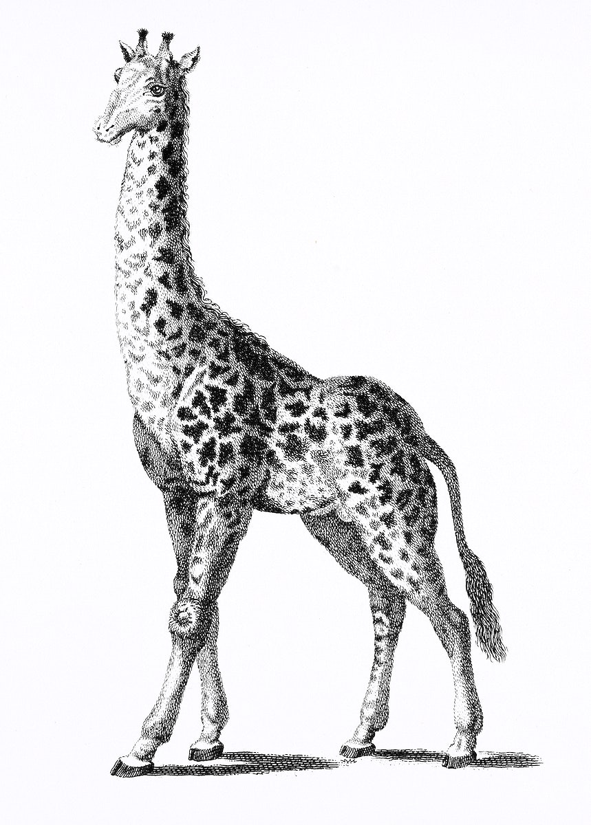 Giraffe from Zoological lectures delivered at the Royal institution in the years 1806-7 illustrated by George Shaw (1751…