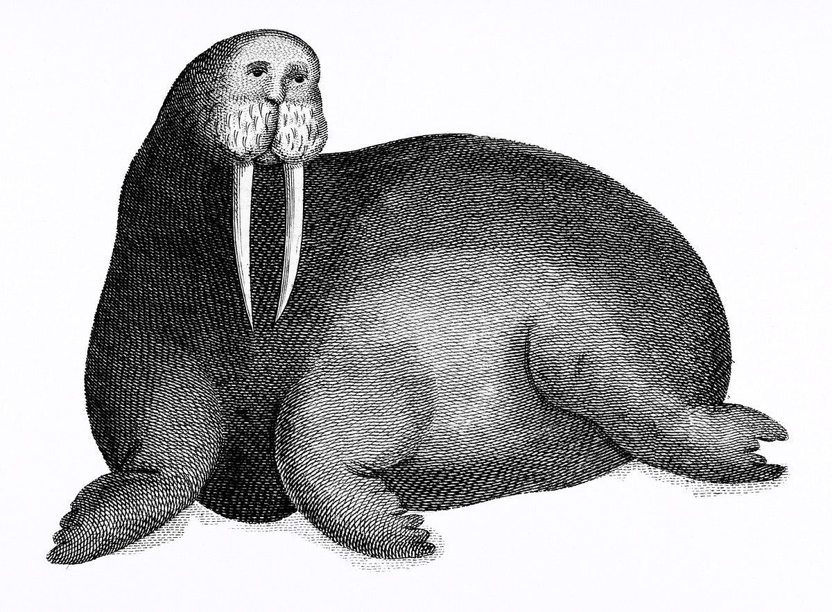 Arctic walrus from Zoological lectures delivered at the Royal institution in the years 1806-7 illustrated by George Shaw…