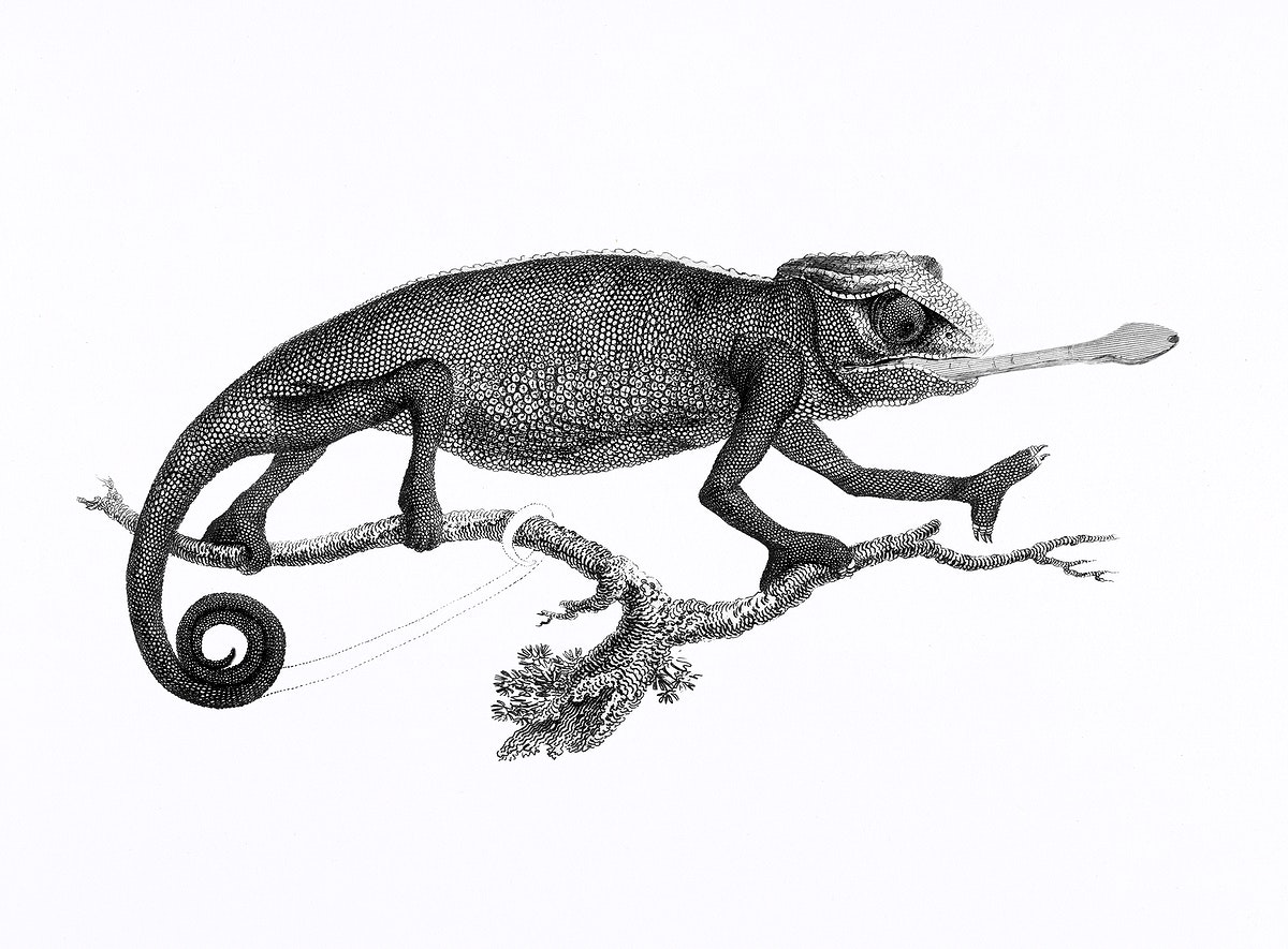 Illustration of Chameleon from Zoological lectures delivered at the Royal institution in the years 1806-7 illustrated by…